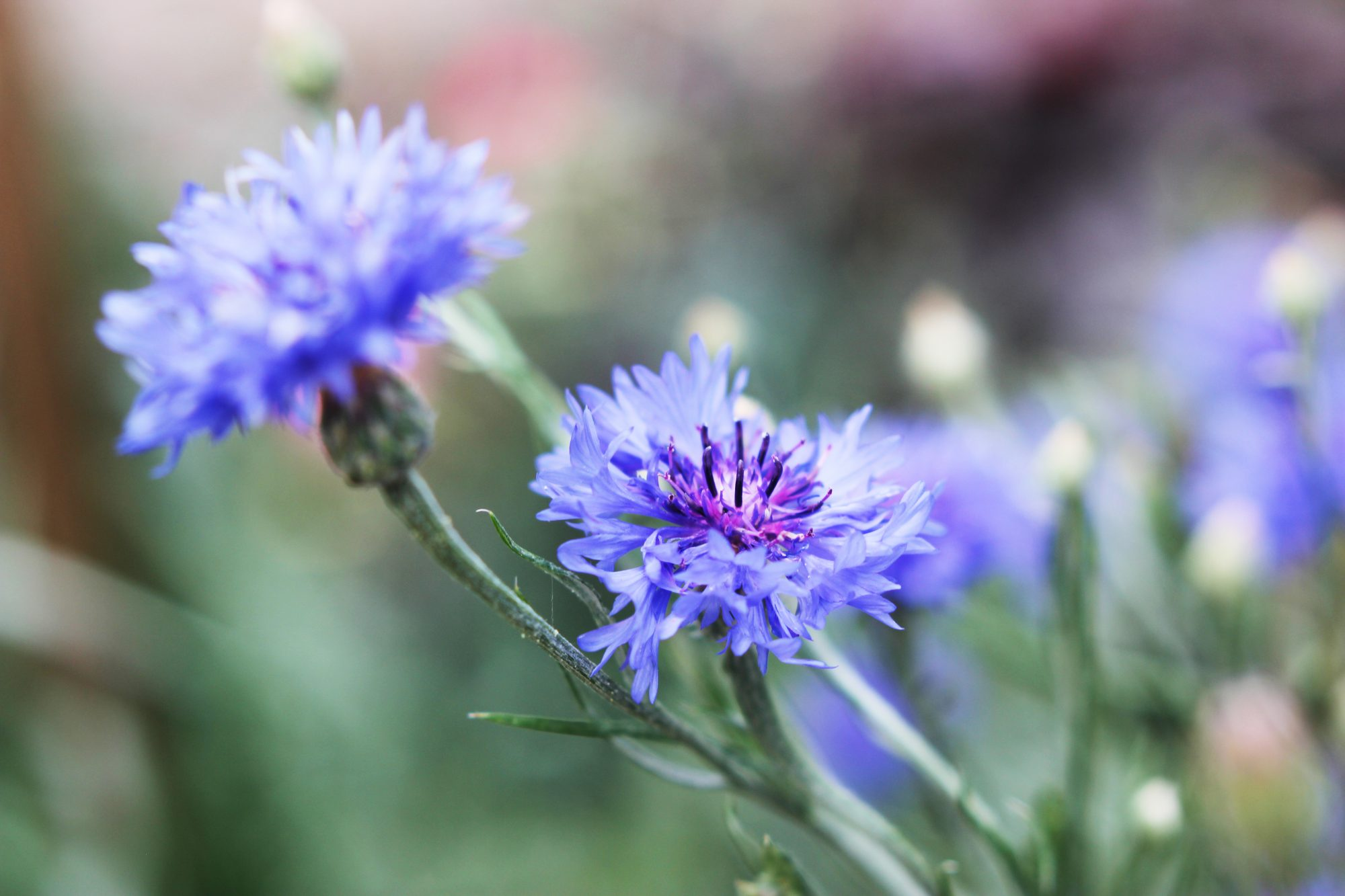 'Blue Boy' Cornflower