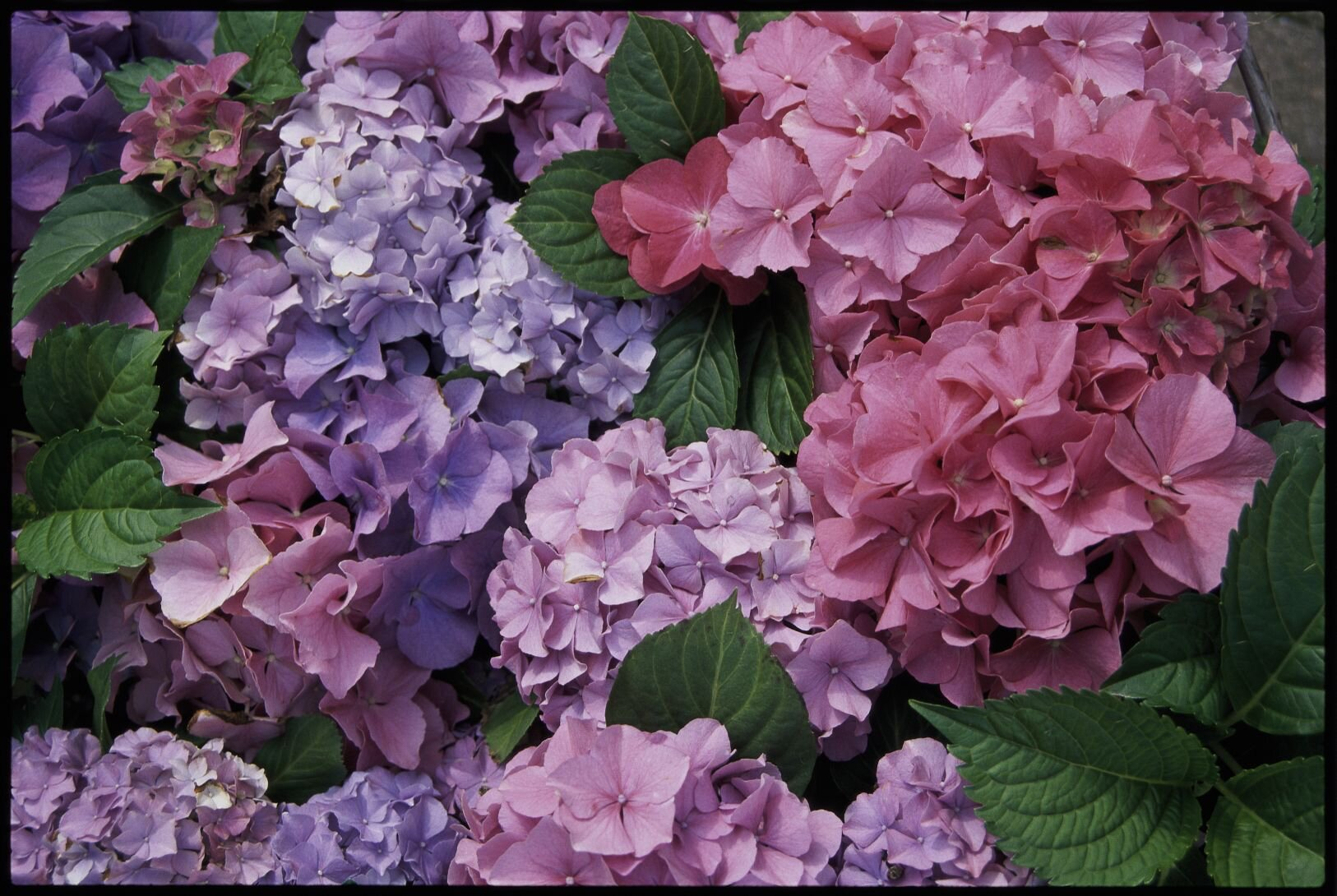 How To Care For Hydrangeas Like A Southerner Southern Living