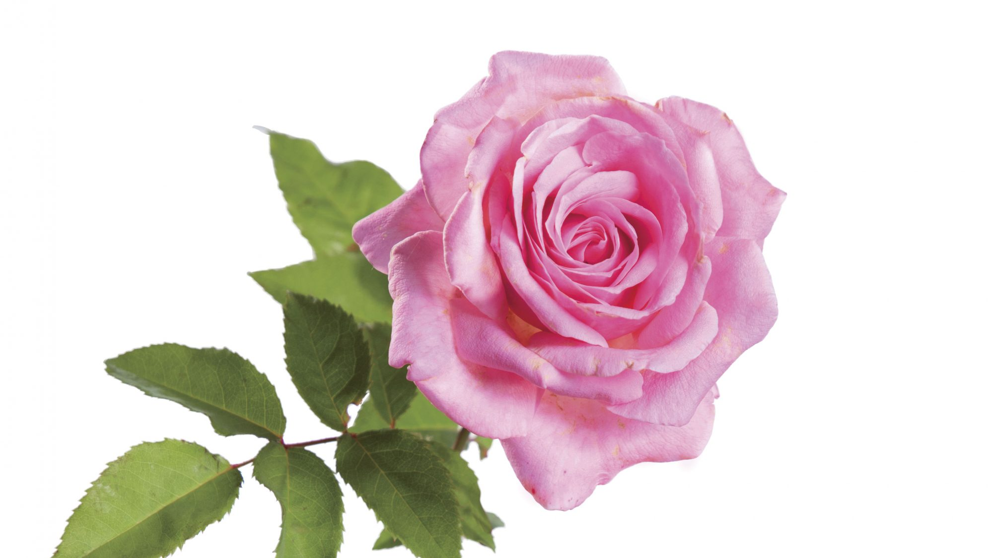 'Mrs. B.R. Cant' Rose