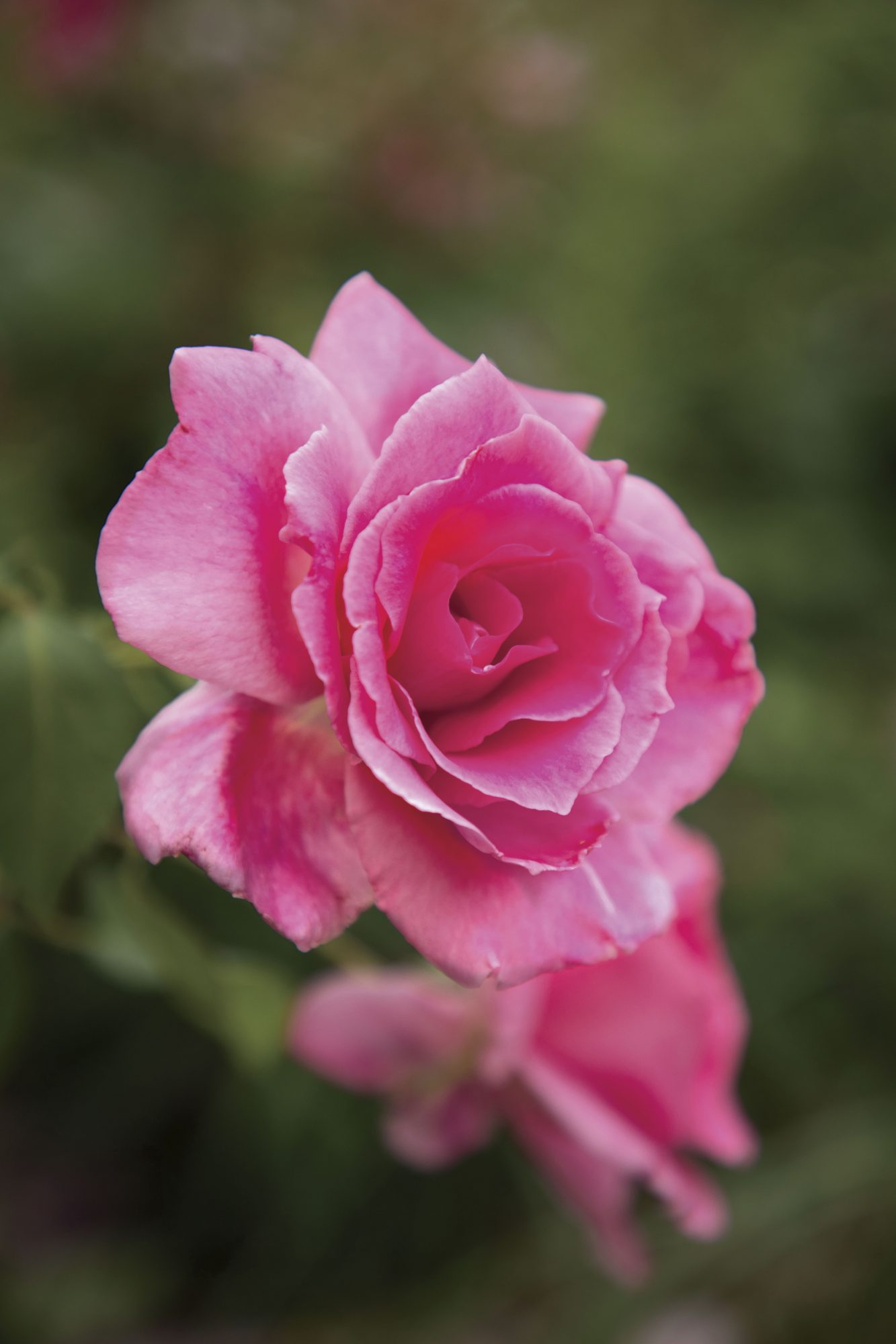 'Katy Road Pink' Rose