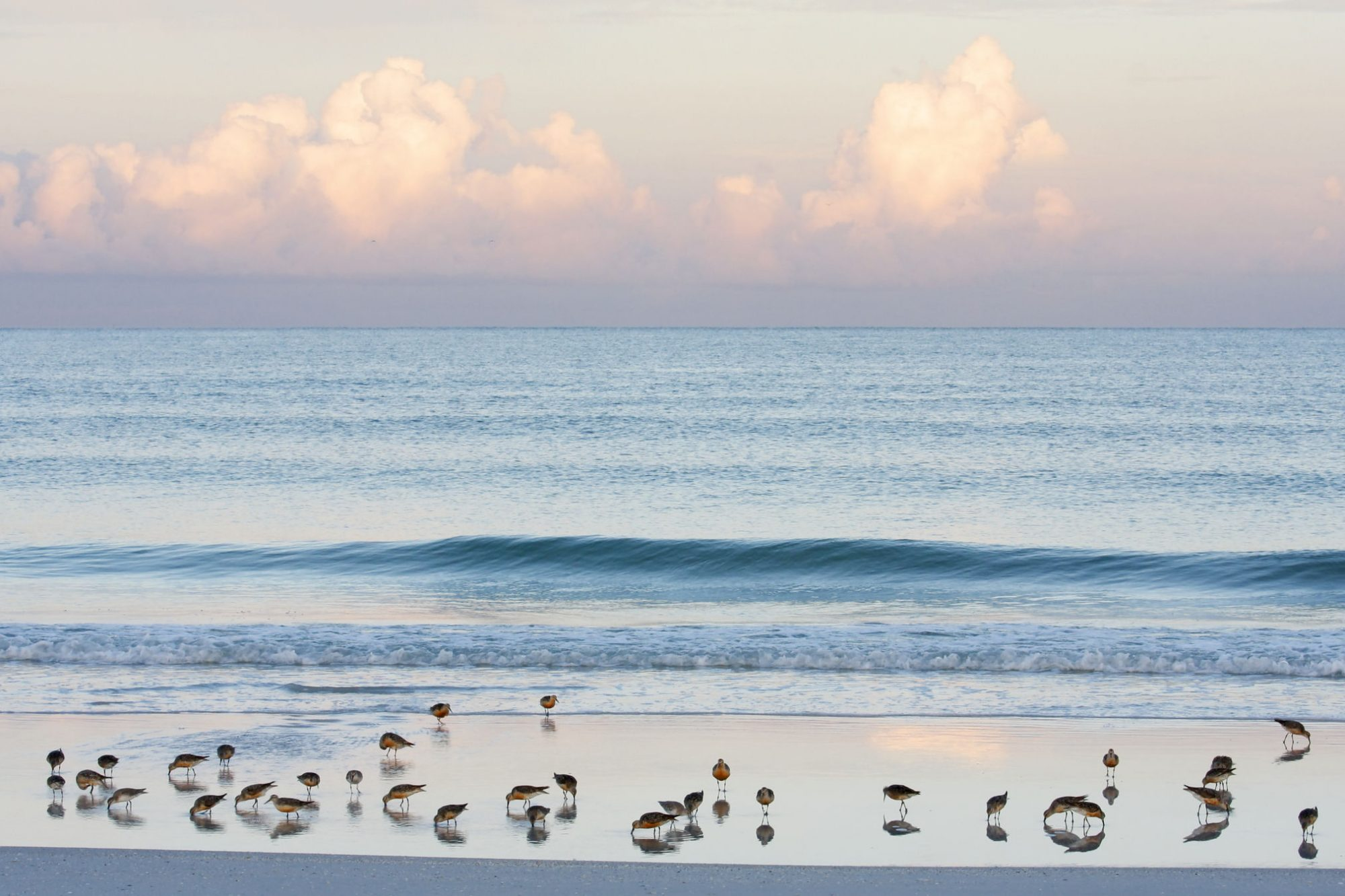 Red Knots Feeding on Beach at Fort DeSoto Park