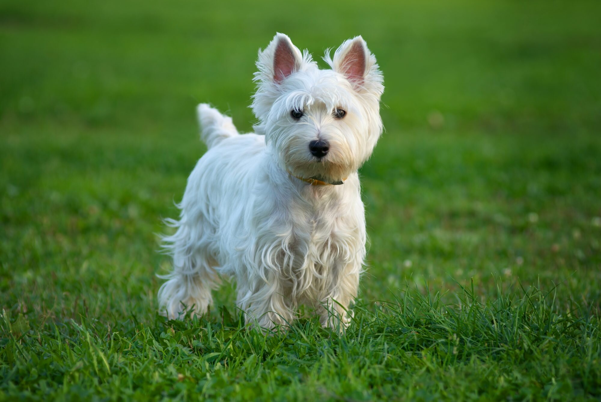 30 Small Dog Breeds That Make Great Pets | Southern Living