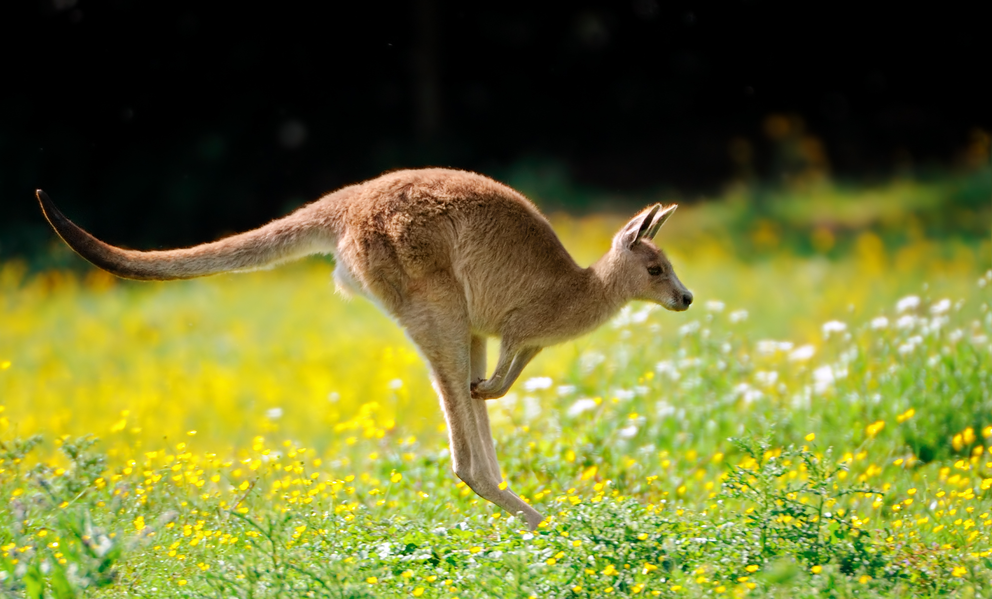 Kangaroo in Grass