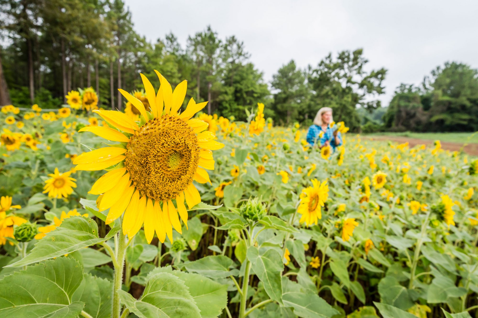 Holly Vaughn's Sunflower Field