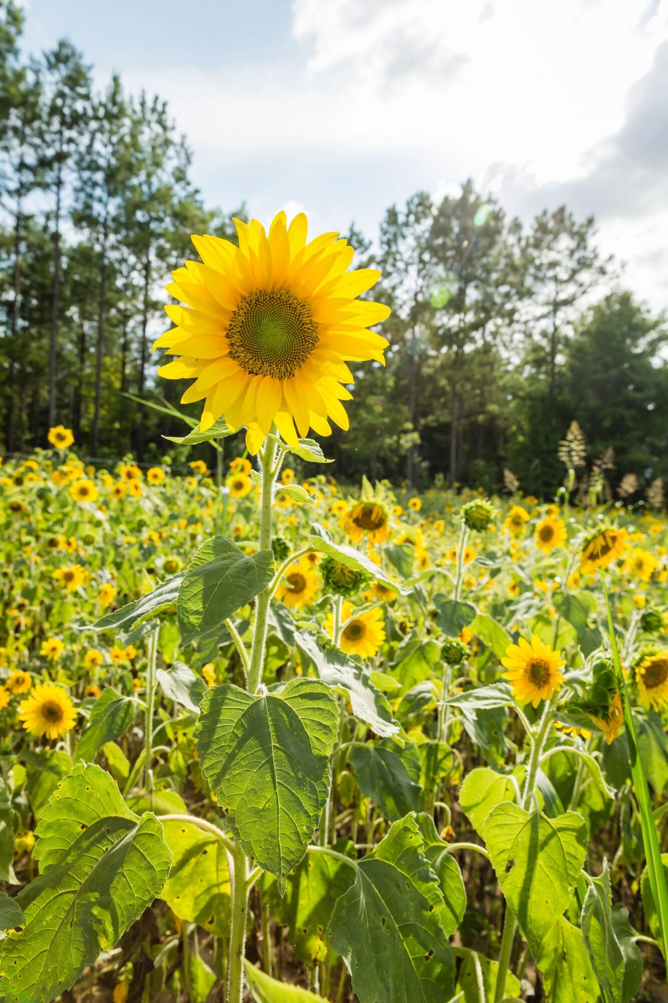 Image result for vintage grow a sunflower
