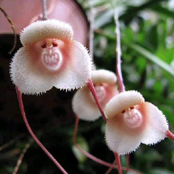 Orchids That Look Just Like a Monkey's Face