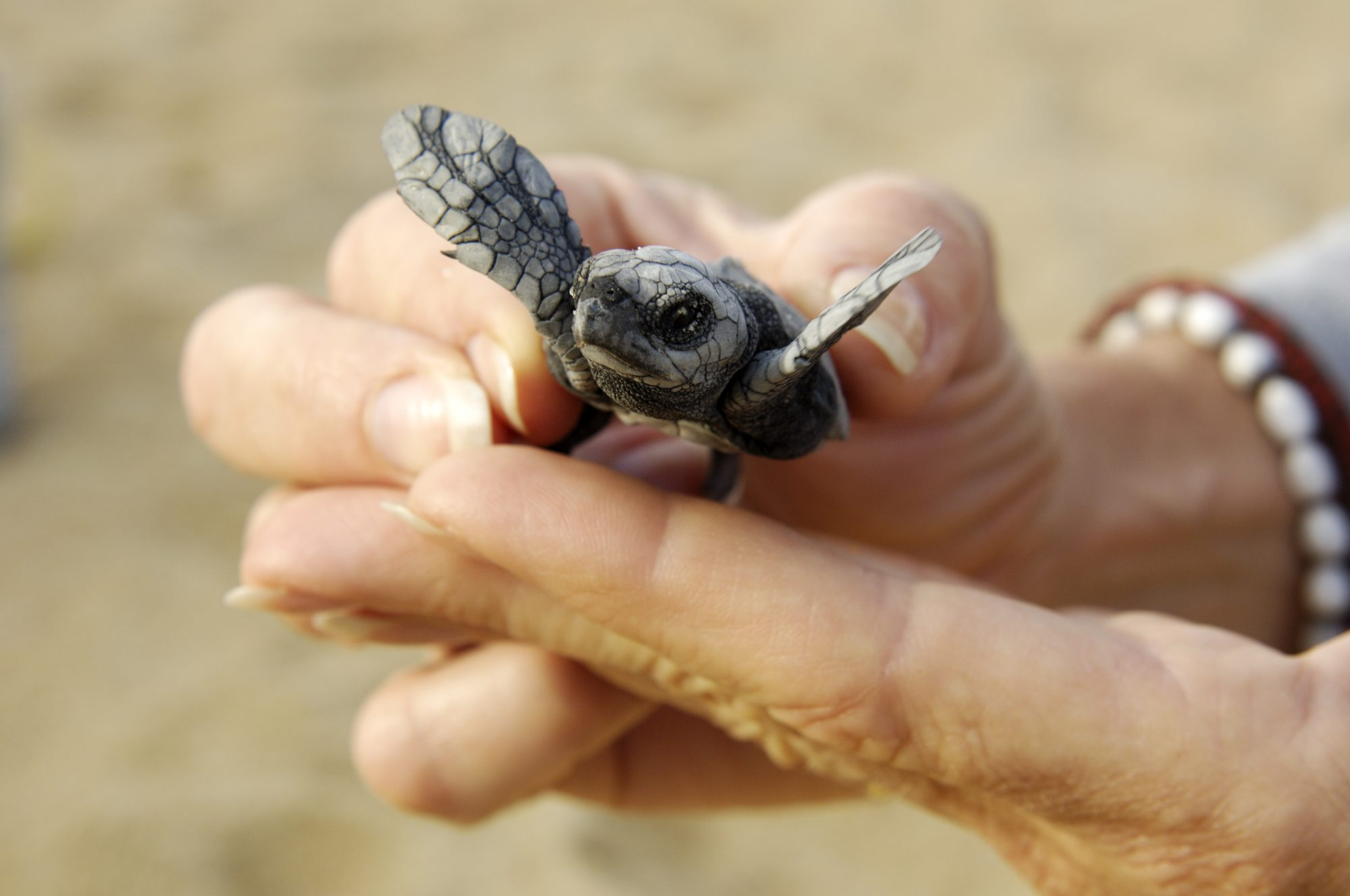 Hatched Baby Sea Turtle