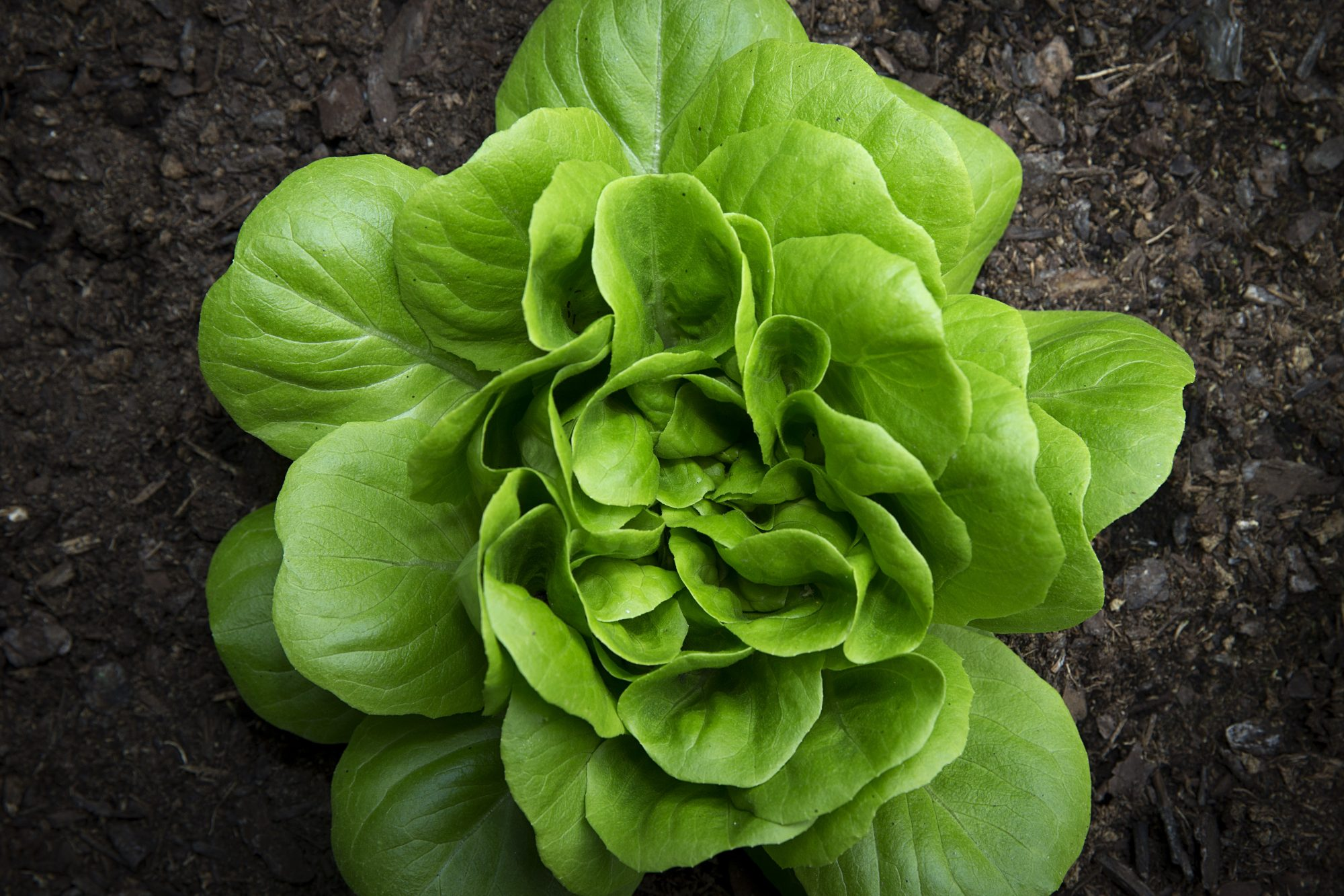 Plant Lettuce In Your Beds
