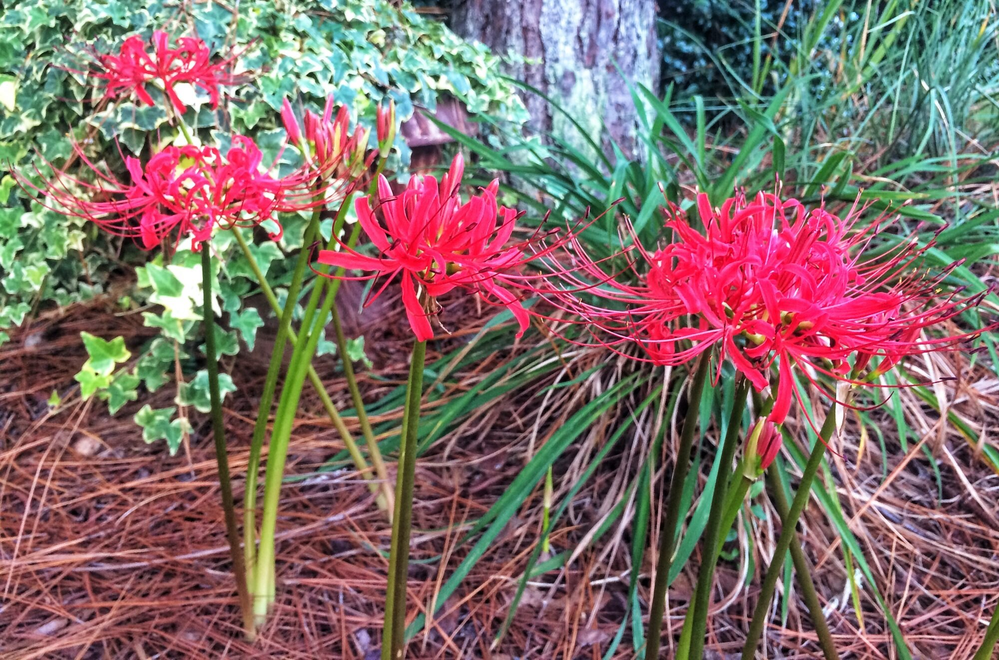 Spider Lilies In Early September Sorcery Southern Living