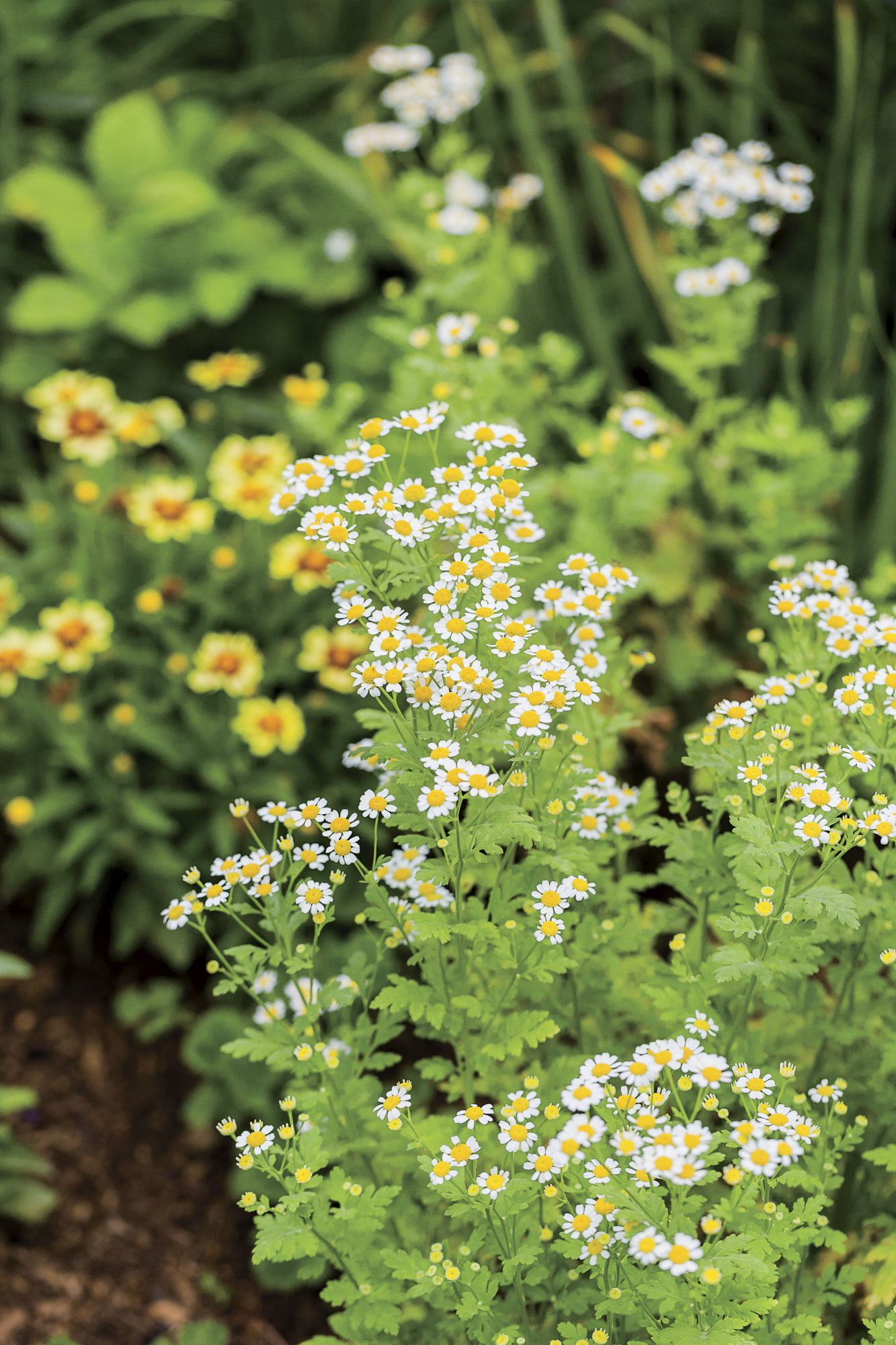 Bunny Mellon's Oak Spring Garden in Virginia with fleabane