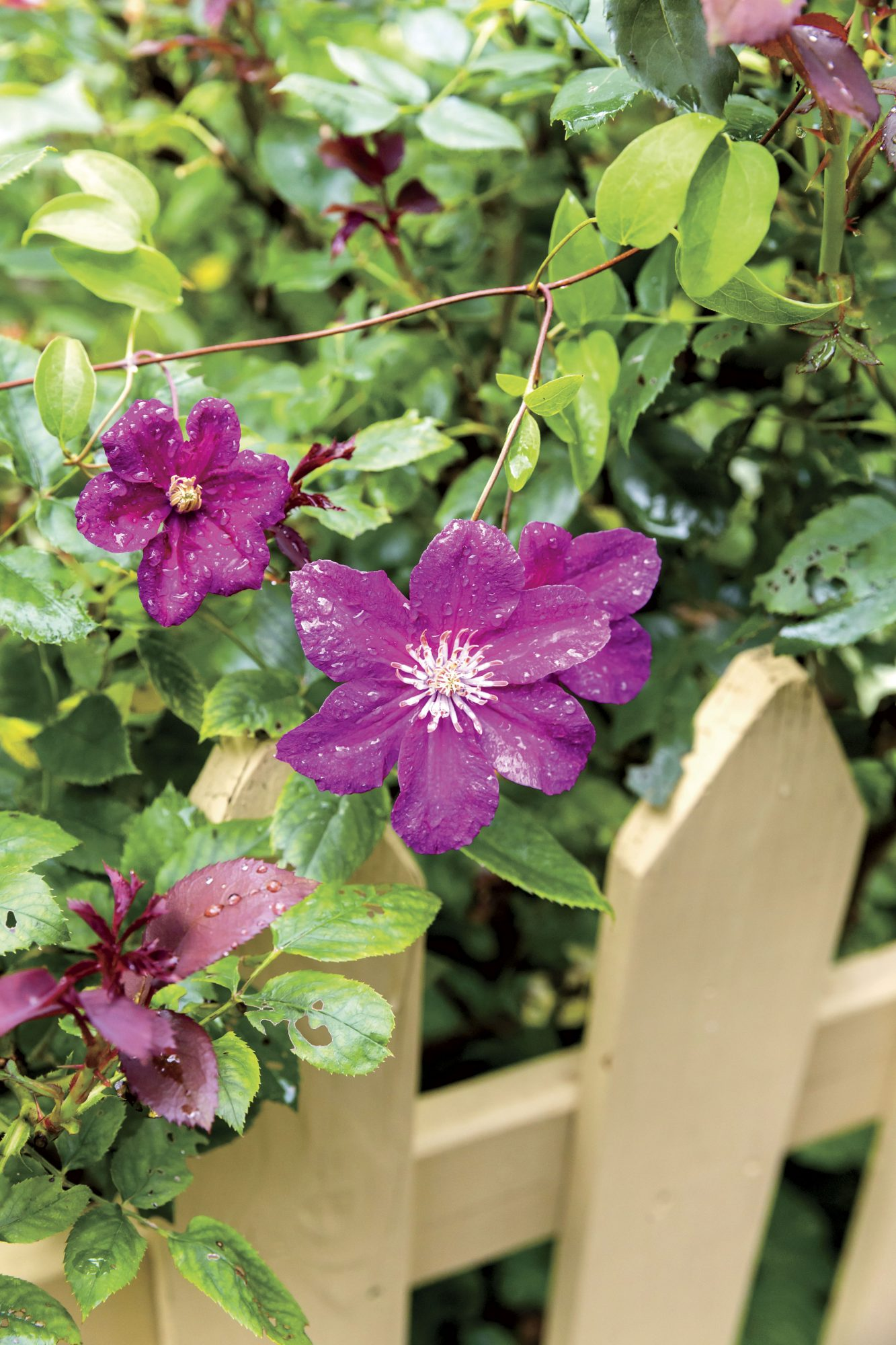 Ville de Lyon Clematis in Mary Startzman's Garden in Berea, Kentucky