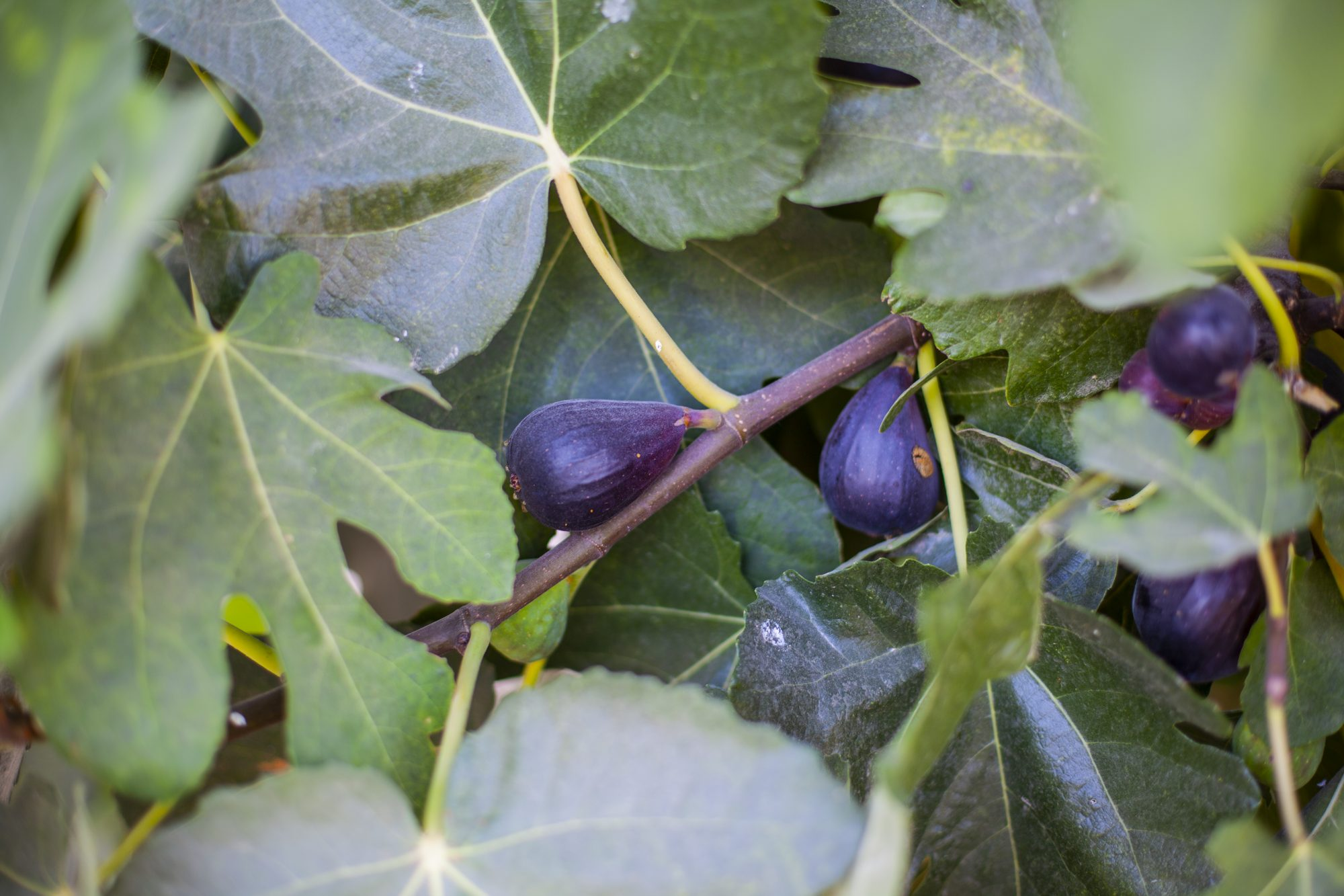 how to grow a fig tree