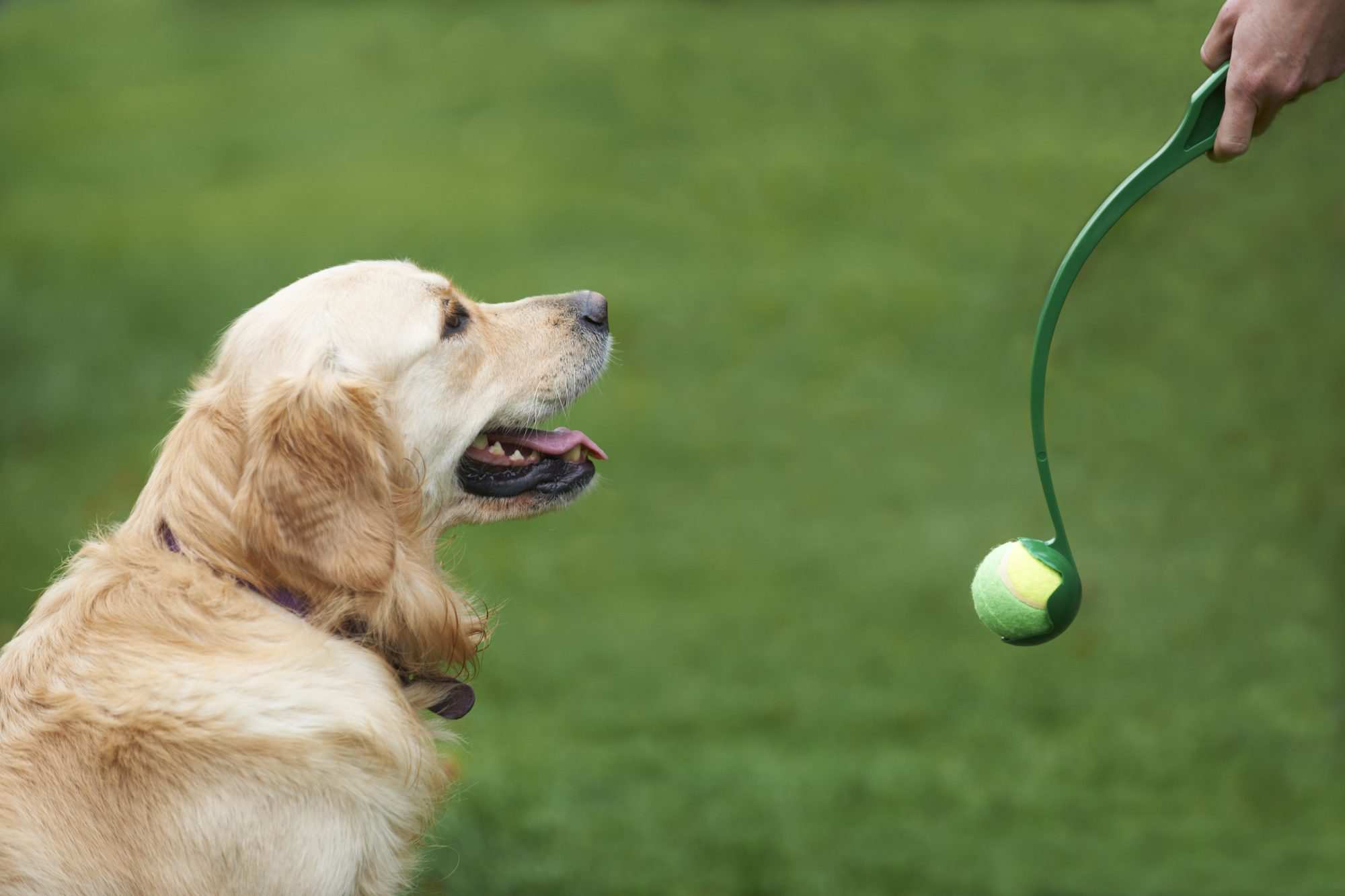 Dog with Ball Thrower