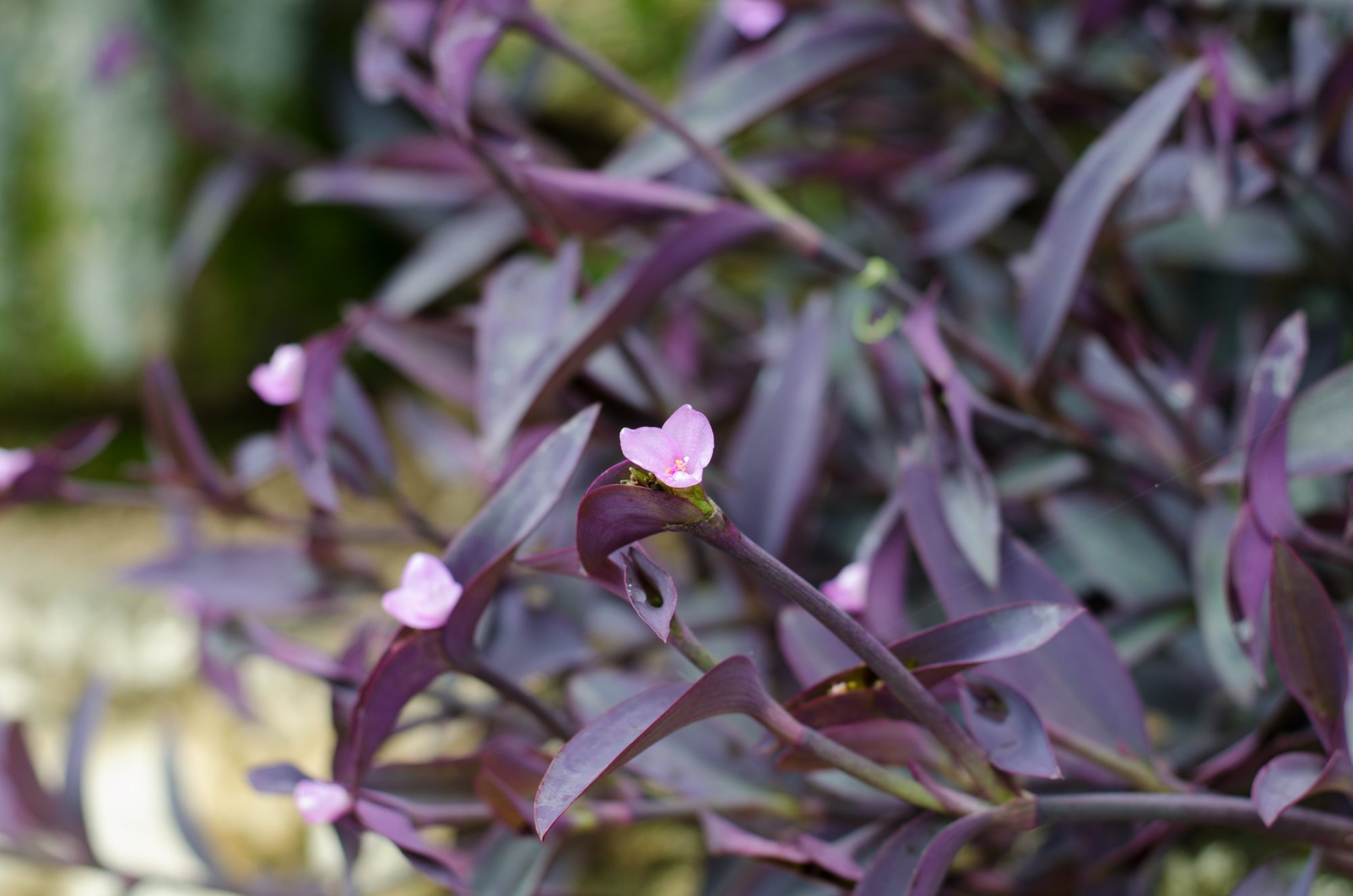 All About The Purple Heart Plant Southern Living