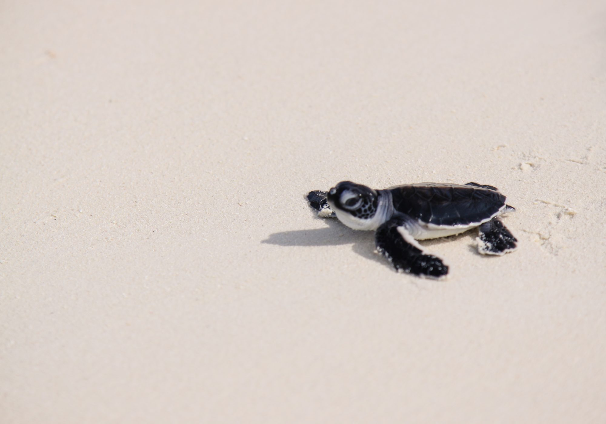Baby Leatherback Sea Turtle