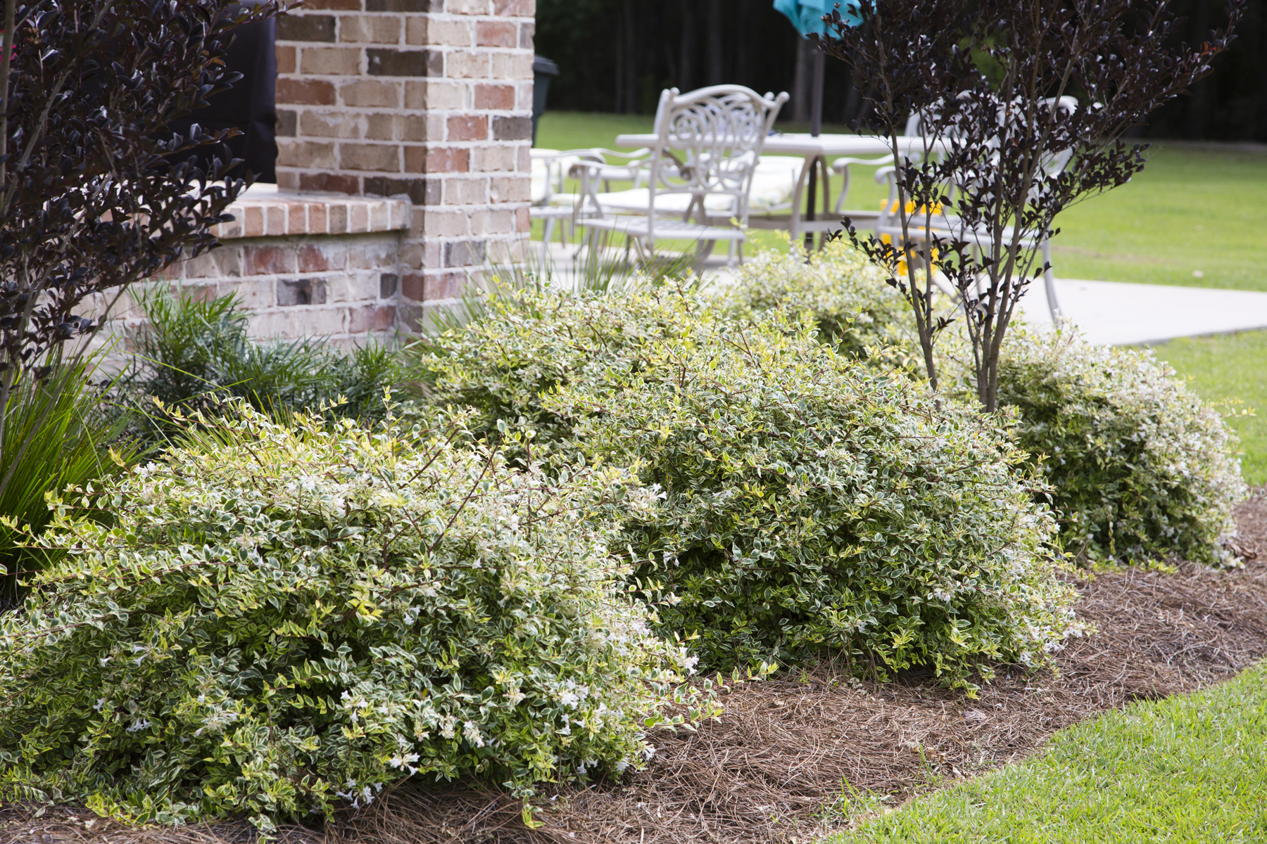 'Miss Lemon' Abelia Plant for Front Yard