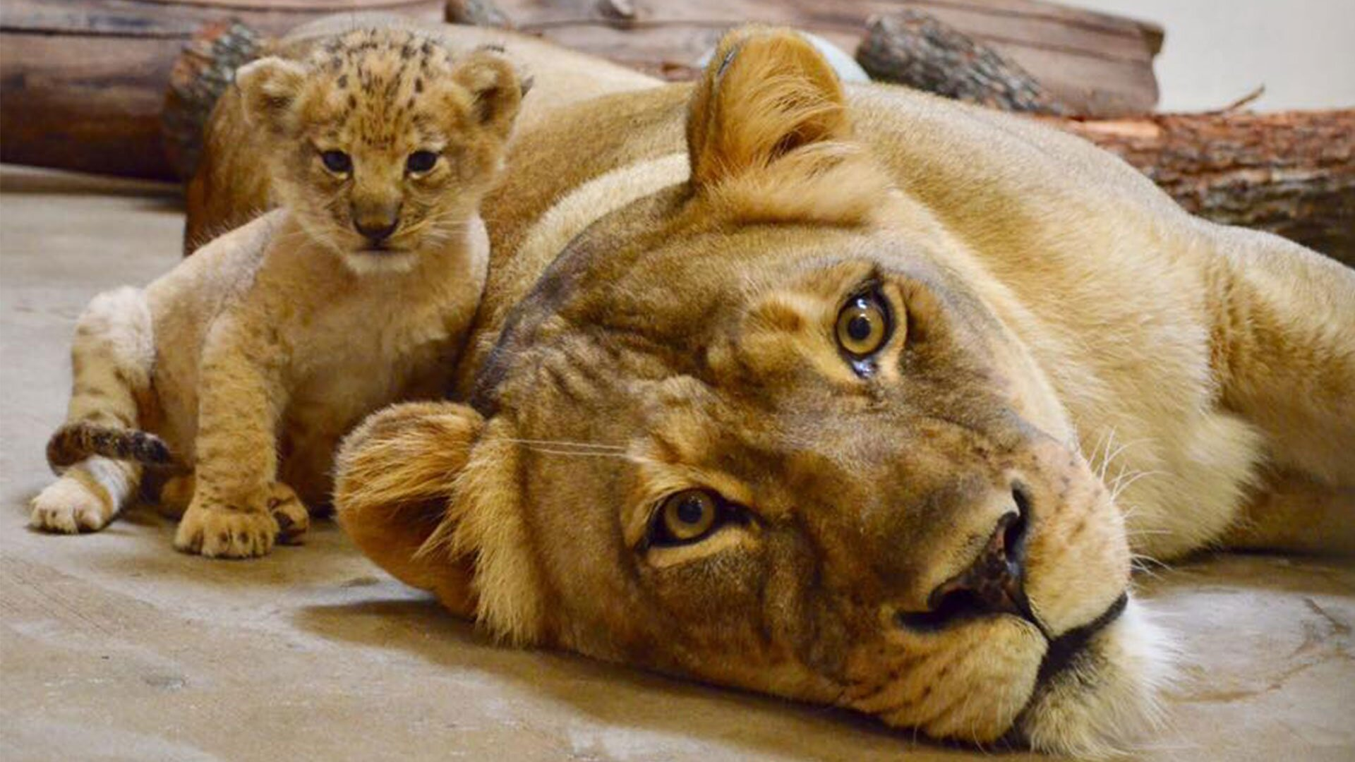 Disney Based Simba From The Lion King On This Dallas Zoo Lion Cub Southern Living
