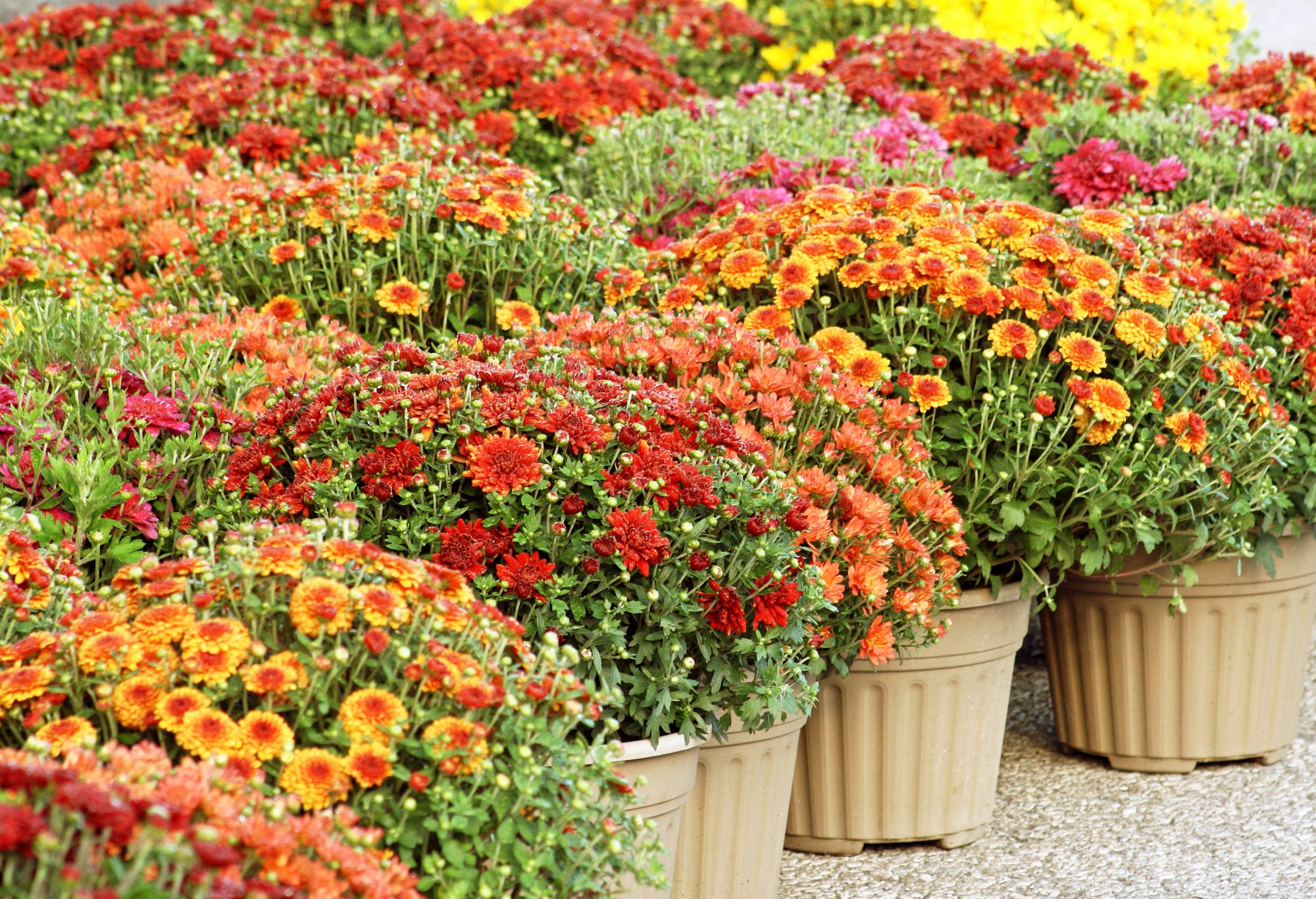 Mum Colors And How To Care For Them This Fall Southern Living