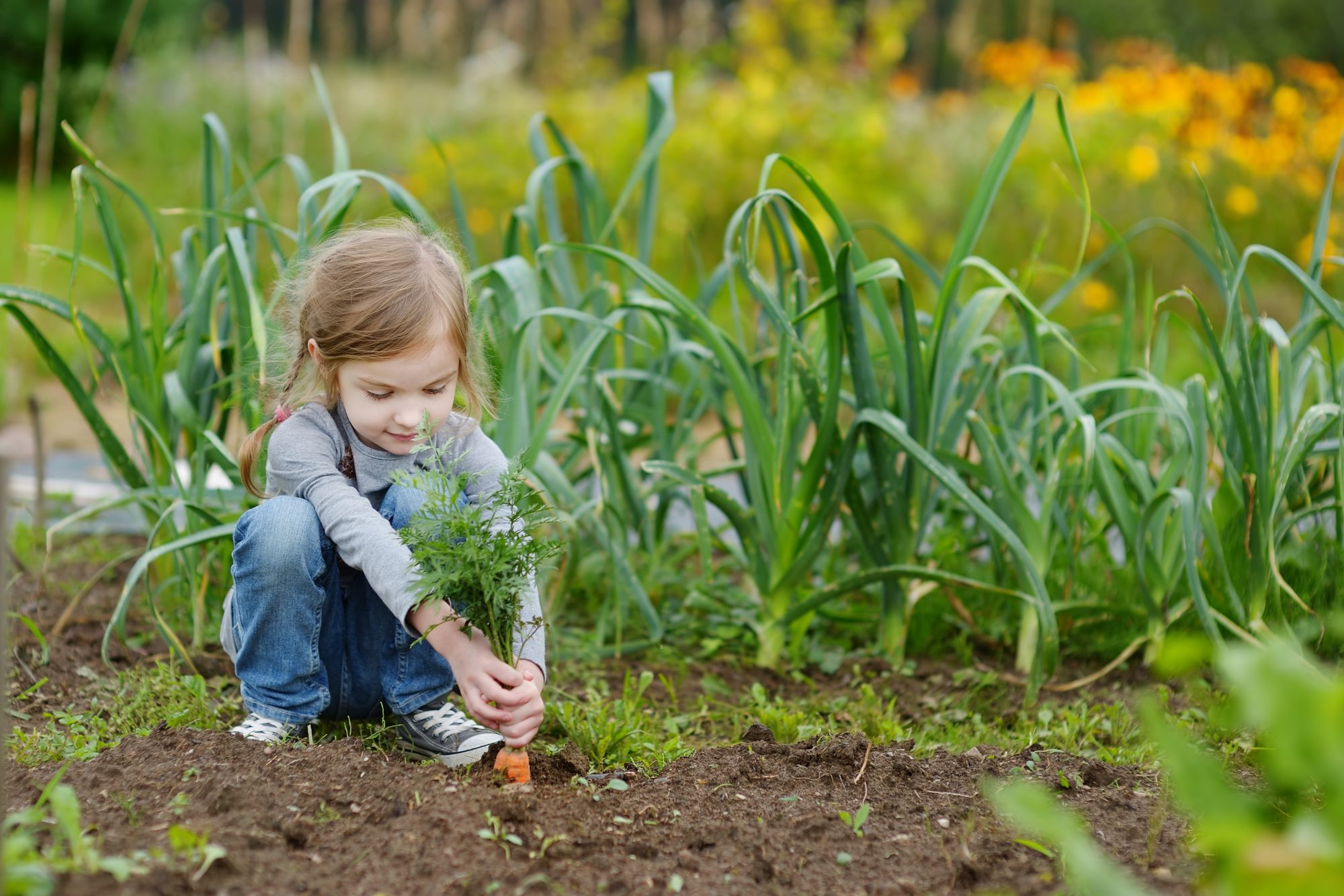 Little Girl Harvesting Carrots