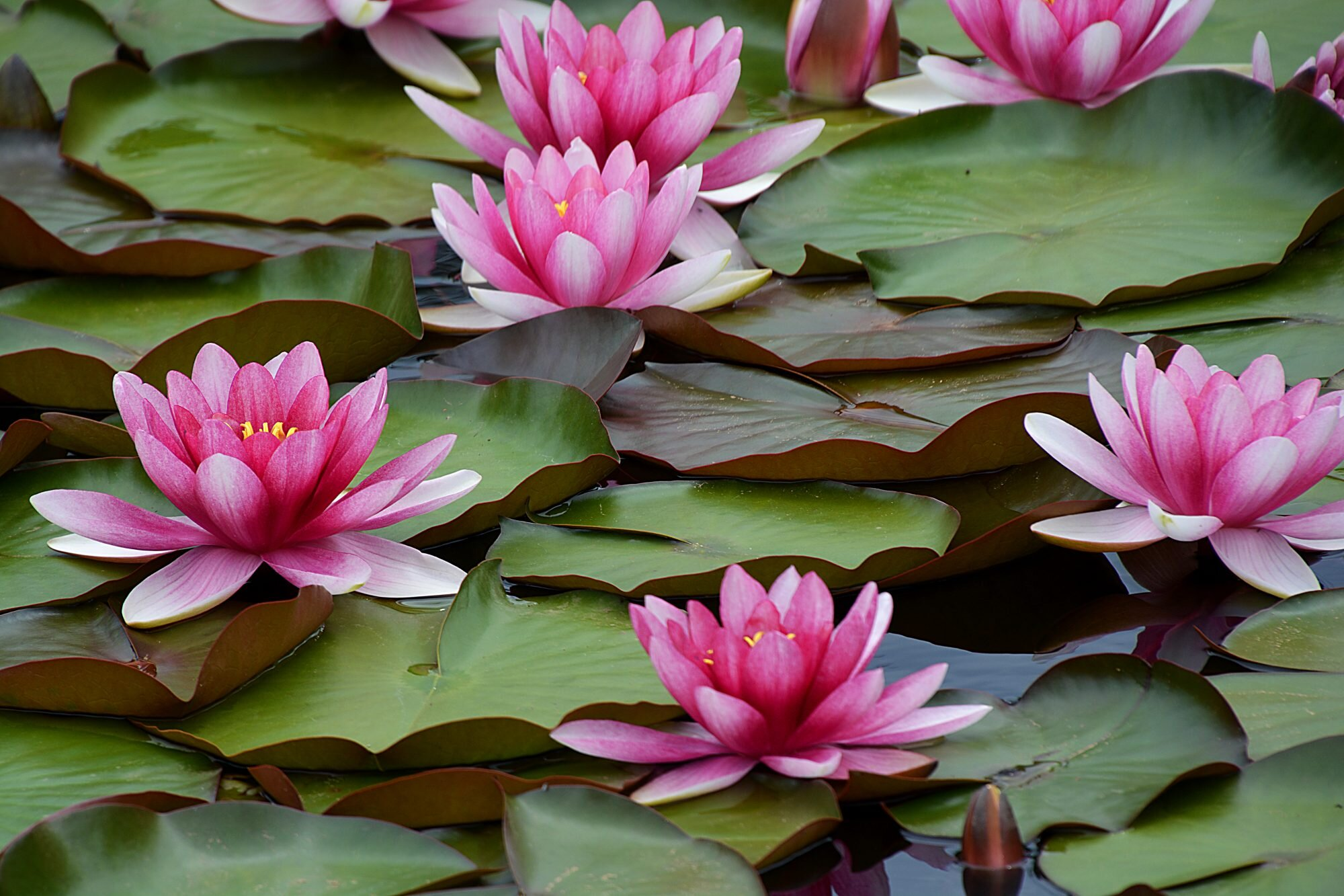 Water Lilies Are the Gorgeous Aquatic Blooms Anyone Can Grow ...