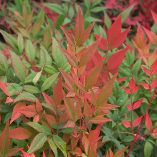 'Obsession' Nandina plant for front yard