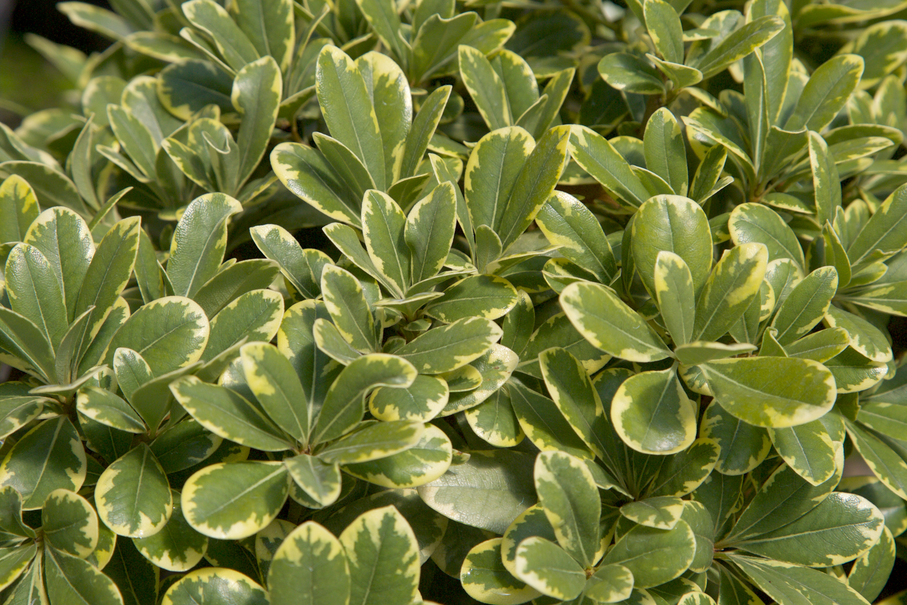 'Mojo' Japanese Pittosporum