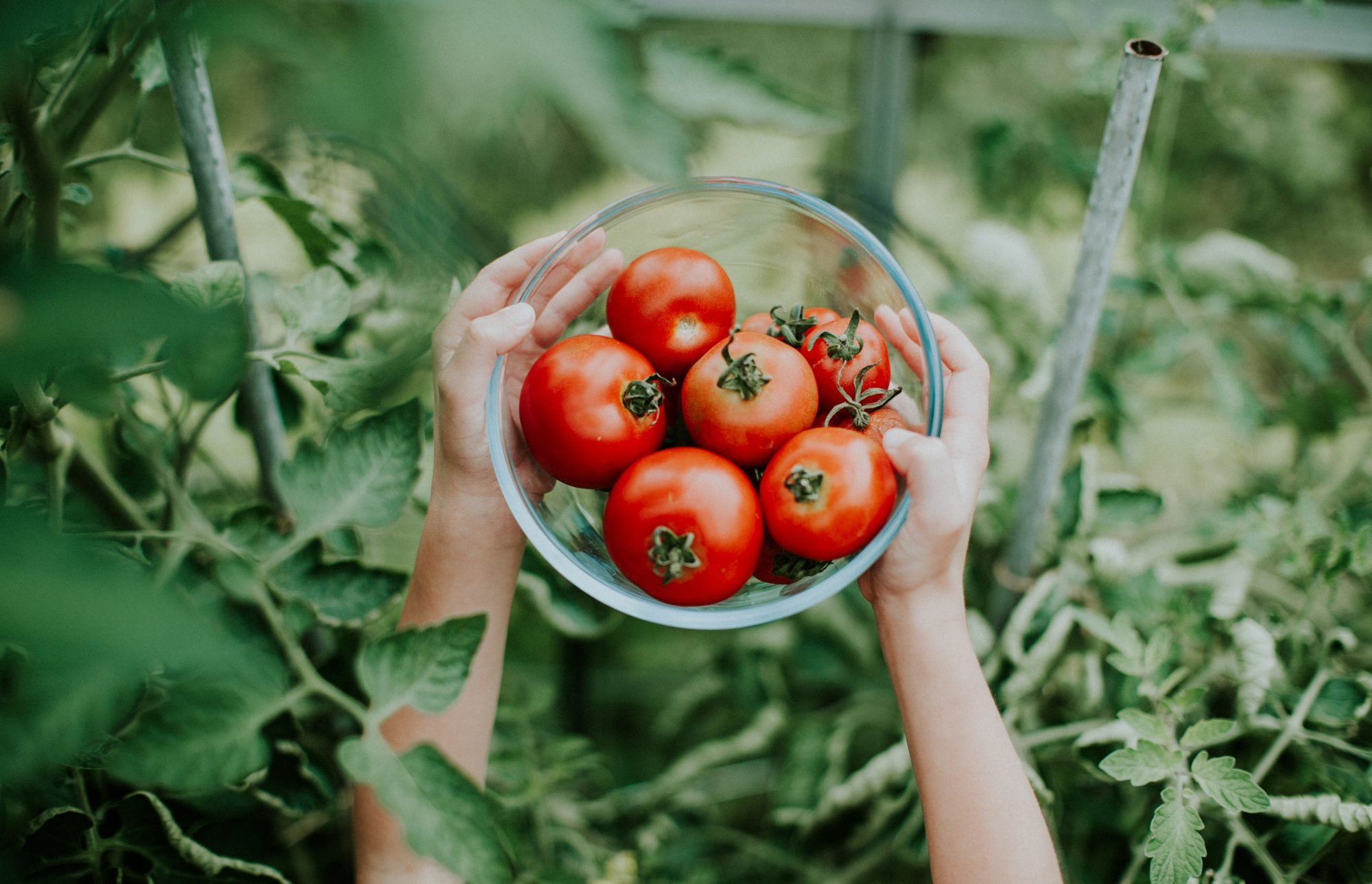 Bowl of tomatoes in garden