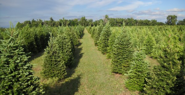 Delp Christmas Tree Farm: St. John, KS