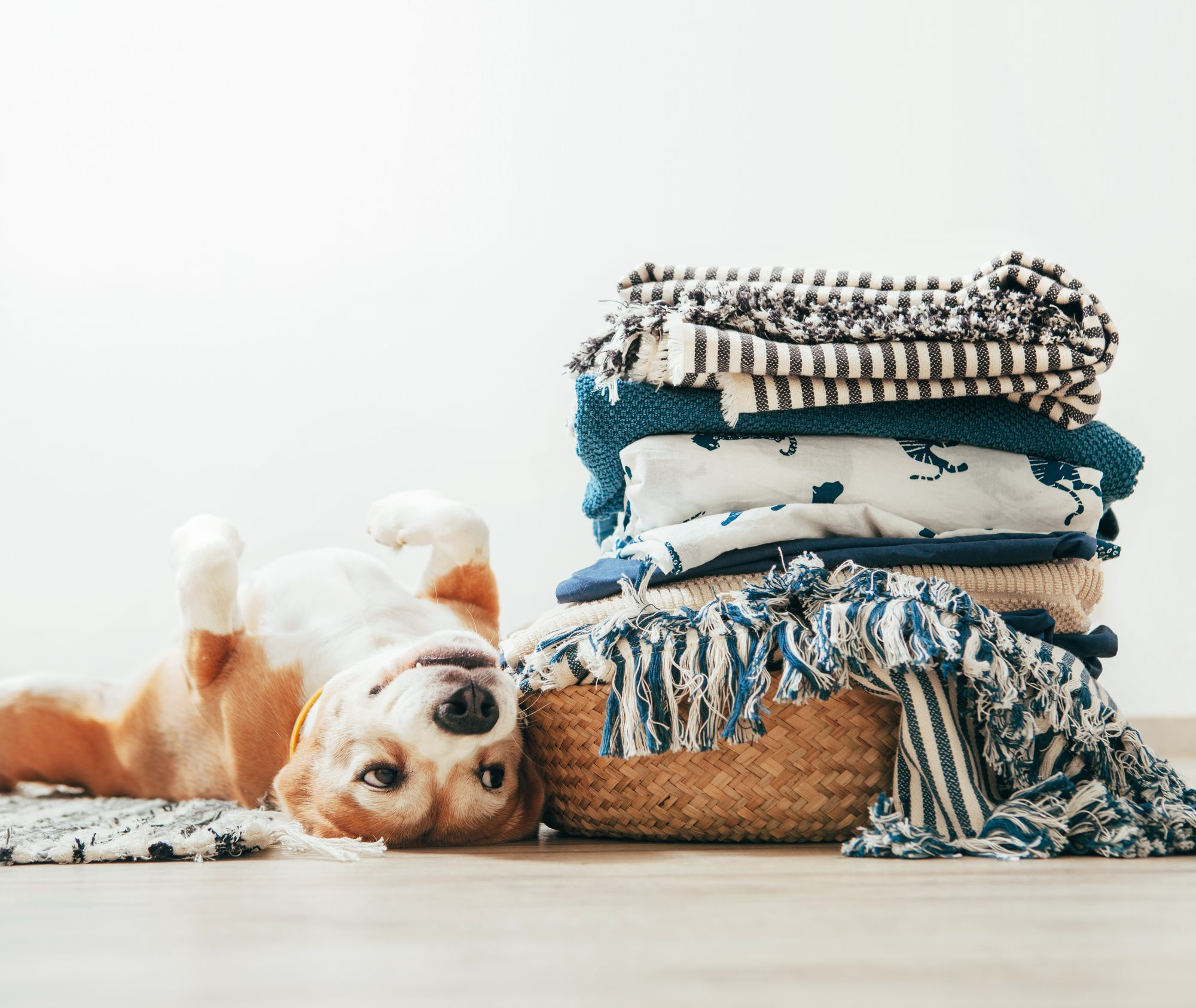 Dog with Laundry
