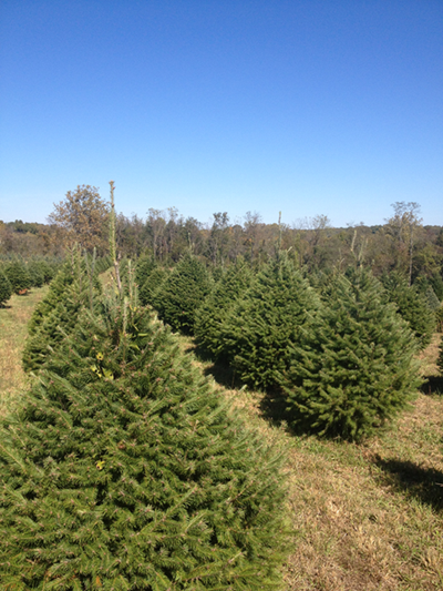 Middleburg Christmas Tree Farm