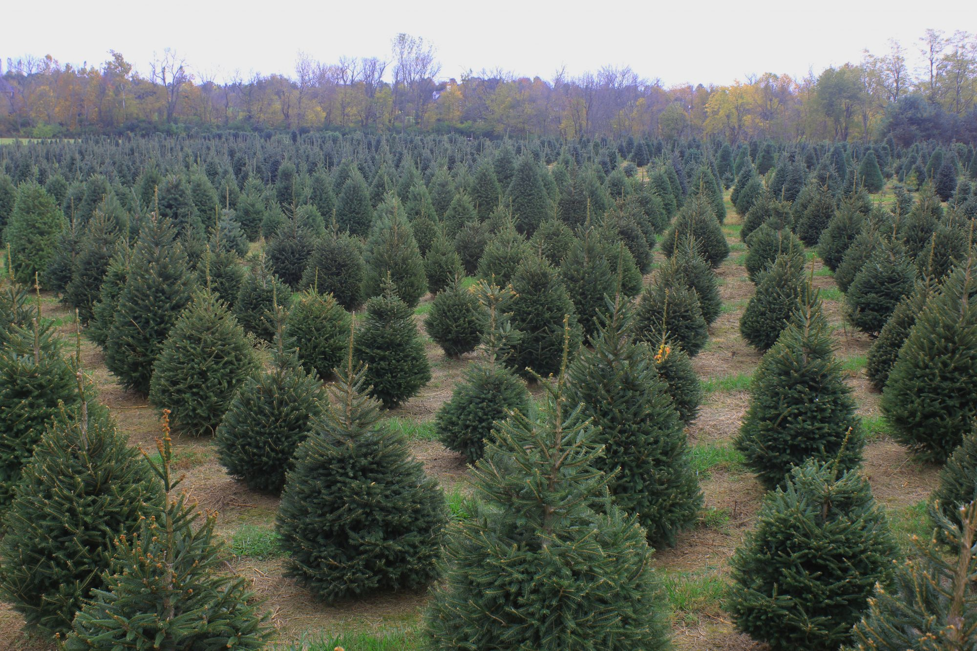 Barker's Christmas Tree Farm: Lexington, KY