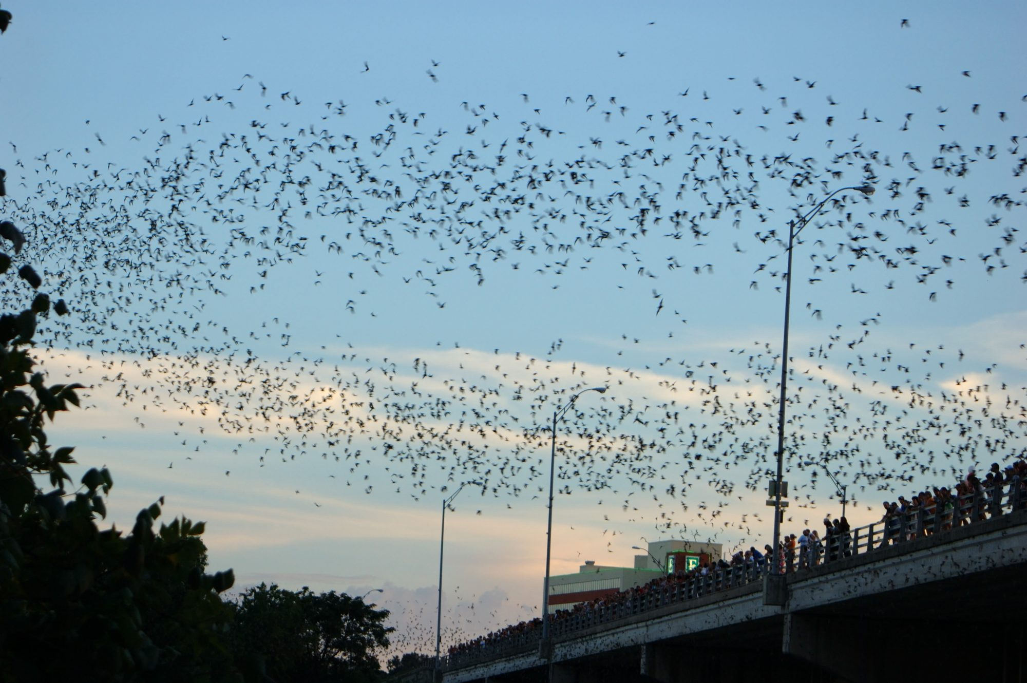 Austin Congress Ave Bats