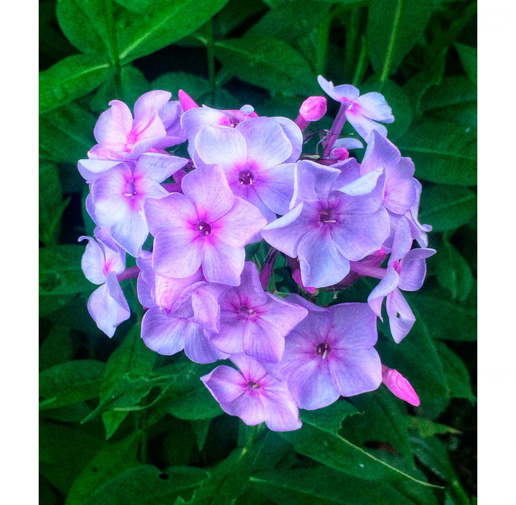 Purple Phlox Blooms