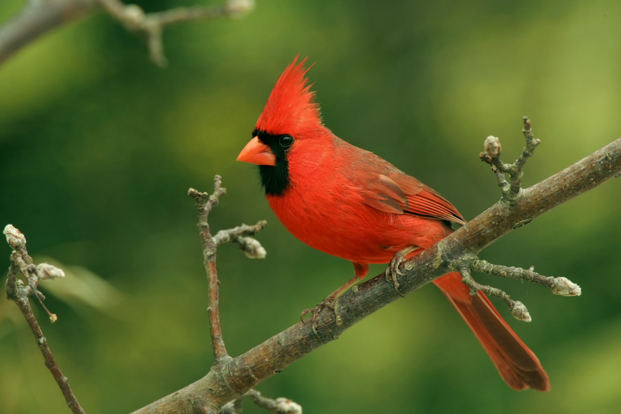 Virginia- Northern Cardinal