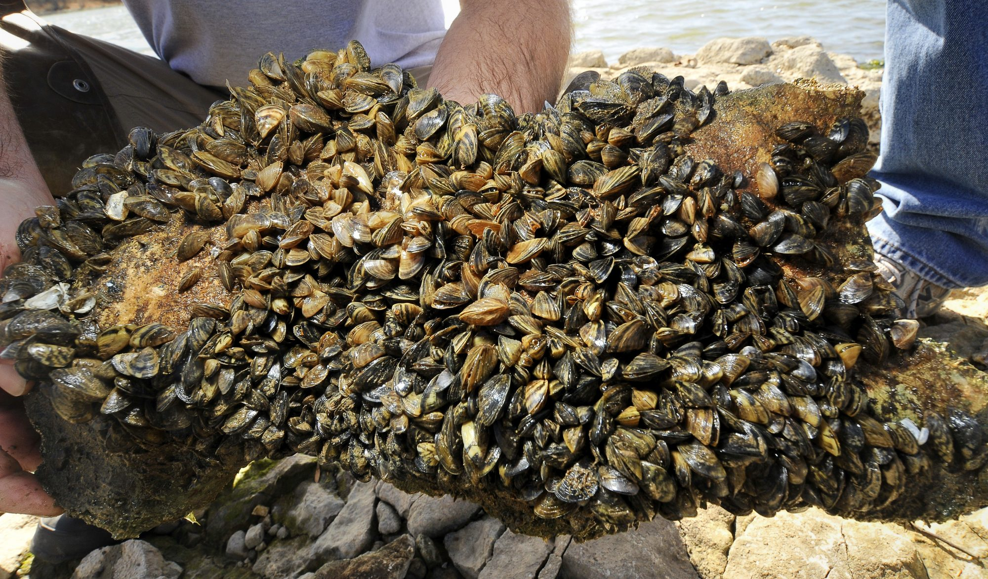 zebra mussels attached to rock