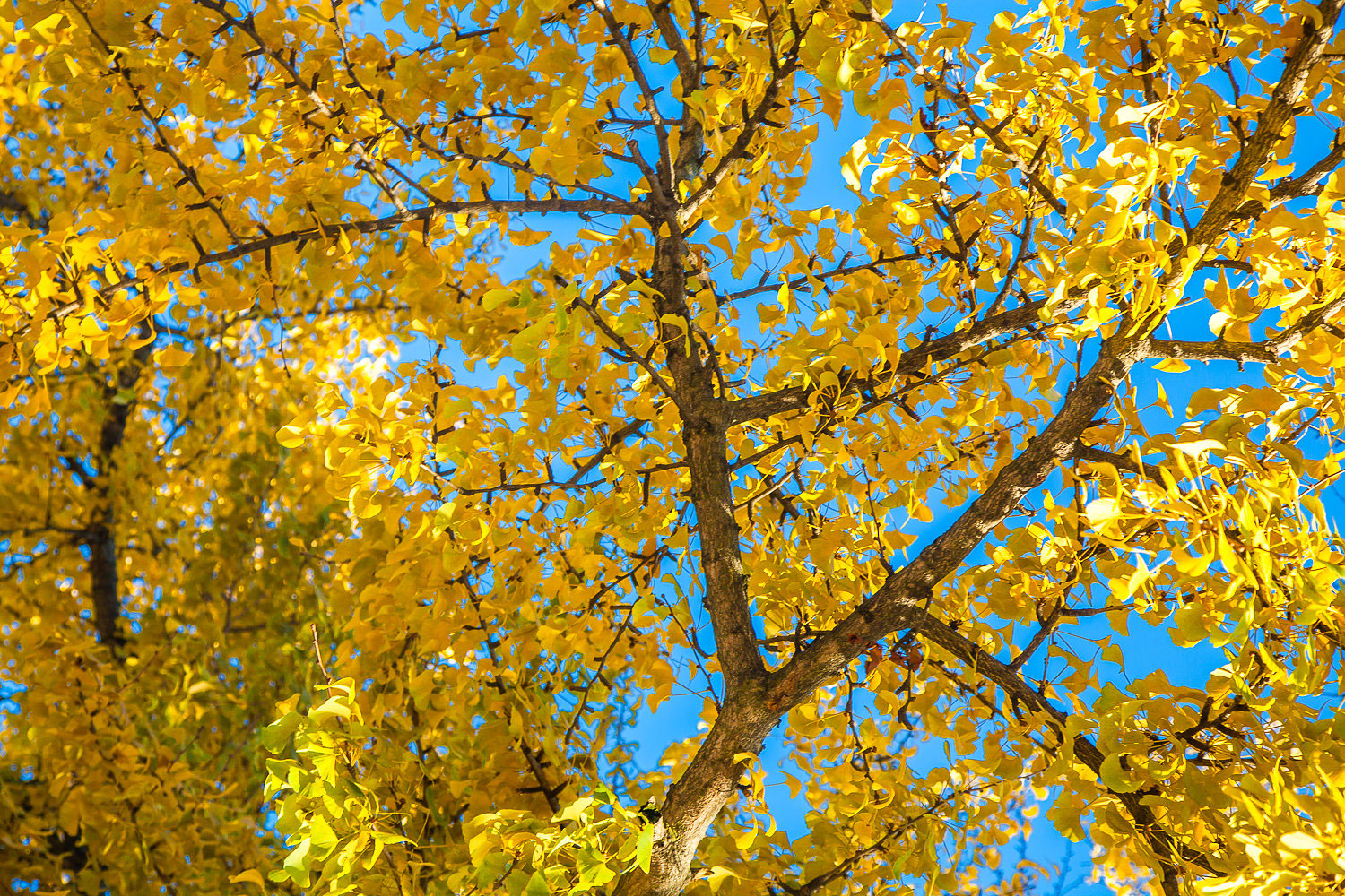 Ginkgo Leaves Against the Sky