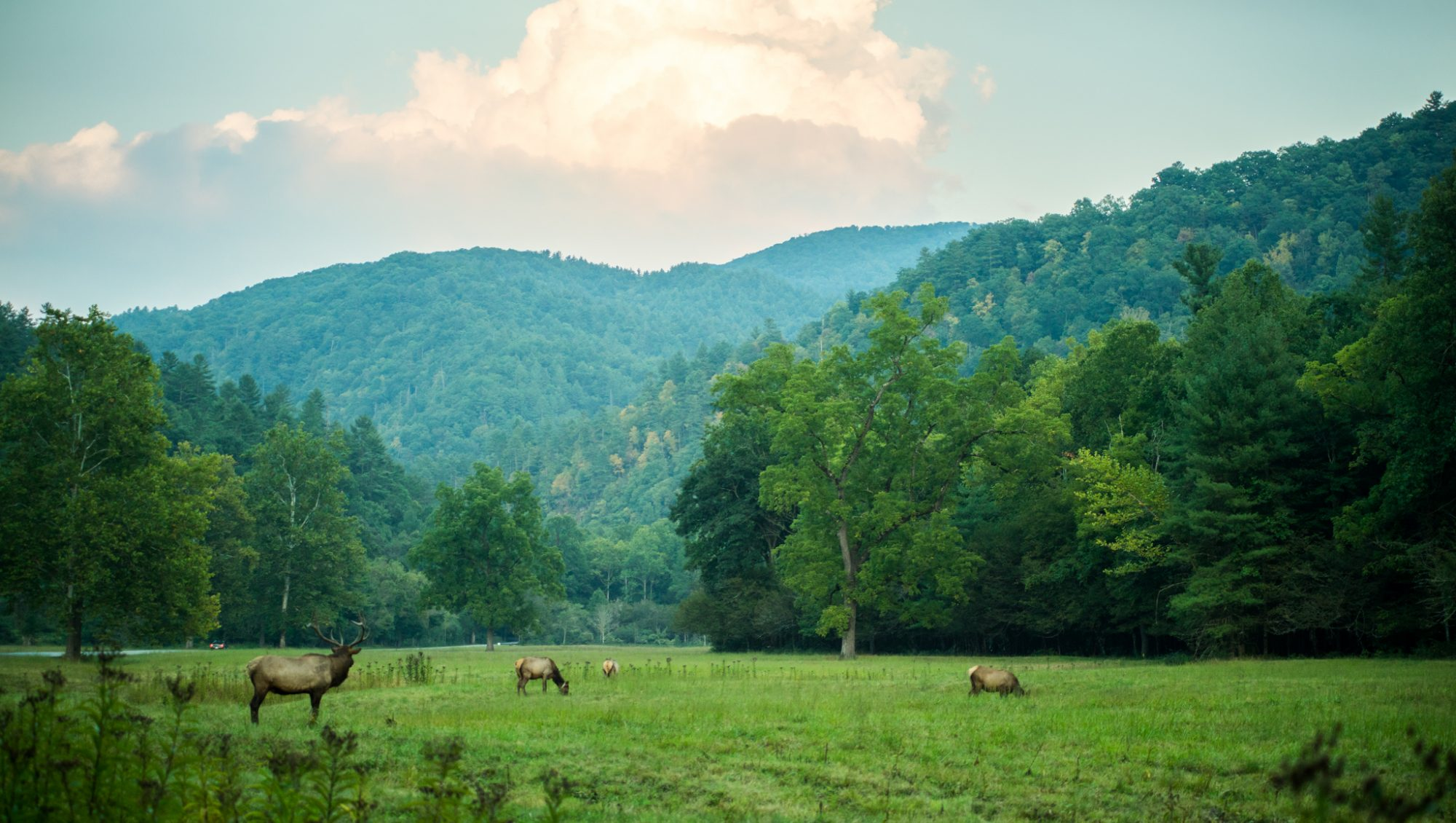 Elk in Field_Courtesy Visit NC Smokies
