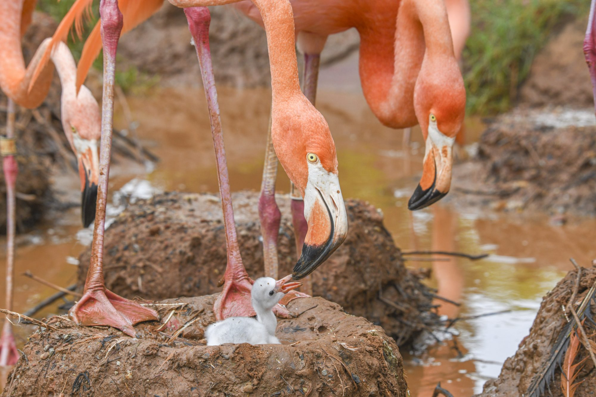 Flamingo Chicks August 2019 Credit: Oklahoma City Zoo