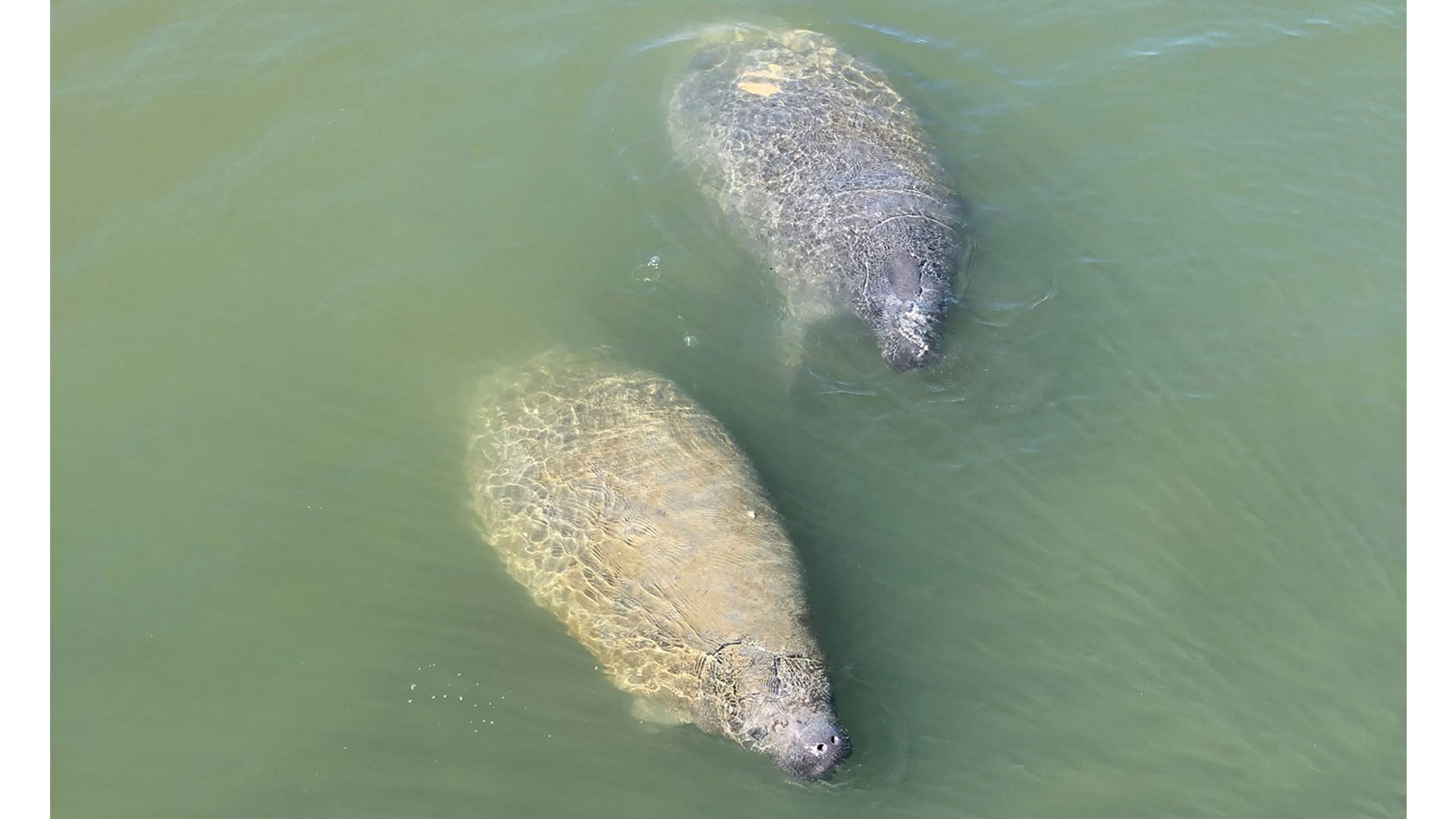 Outer Banks Manatees