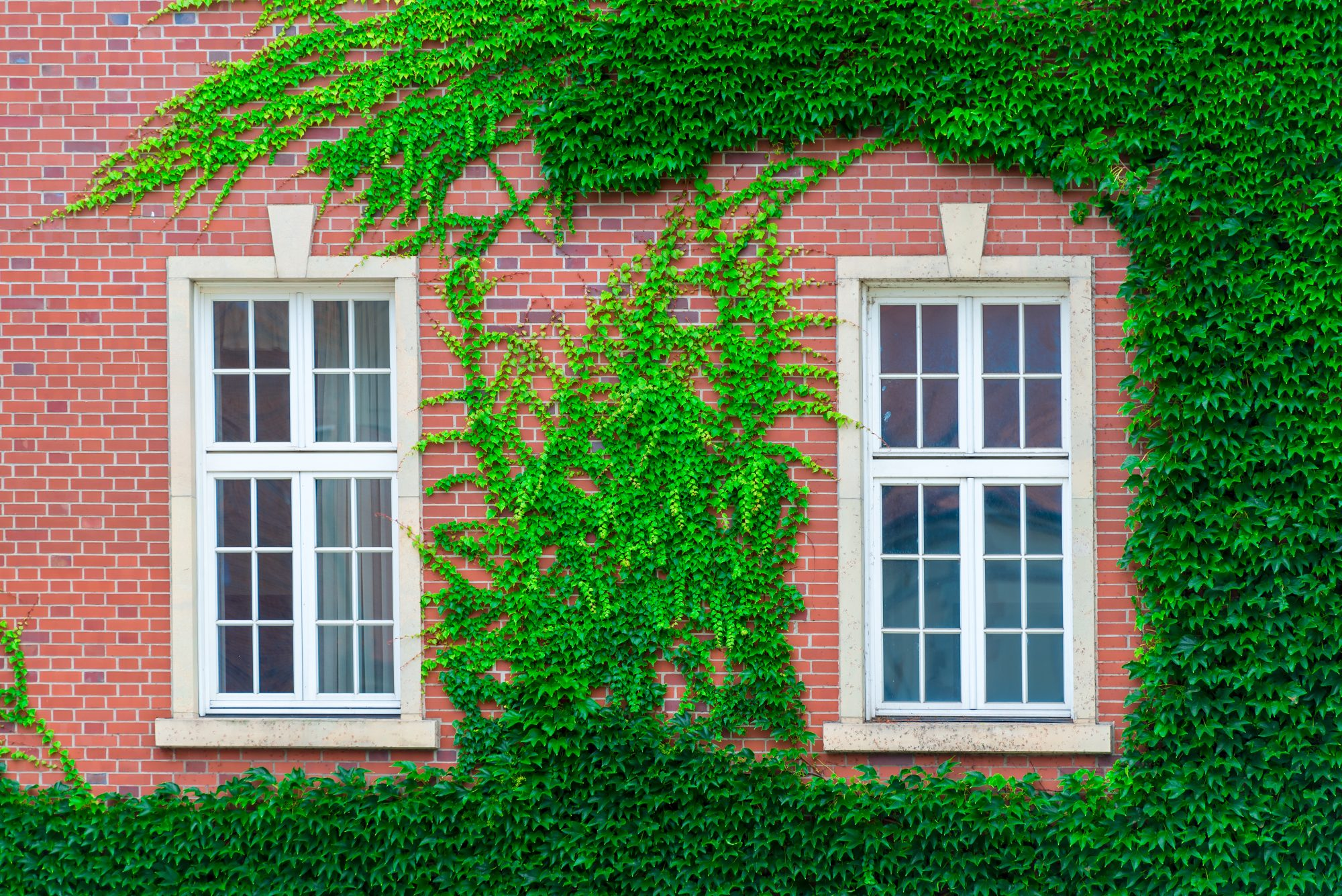 Are Climbing Vines Bad For Your House?
