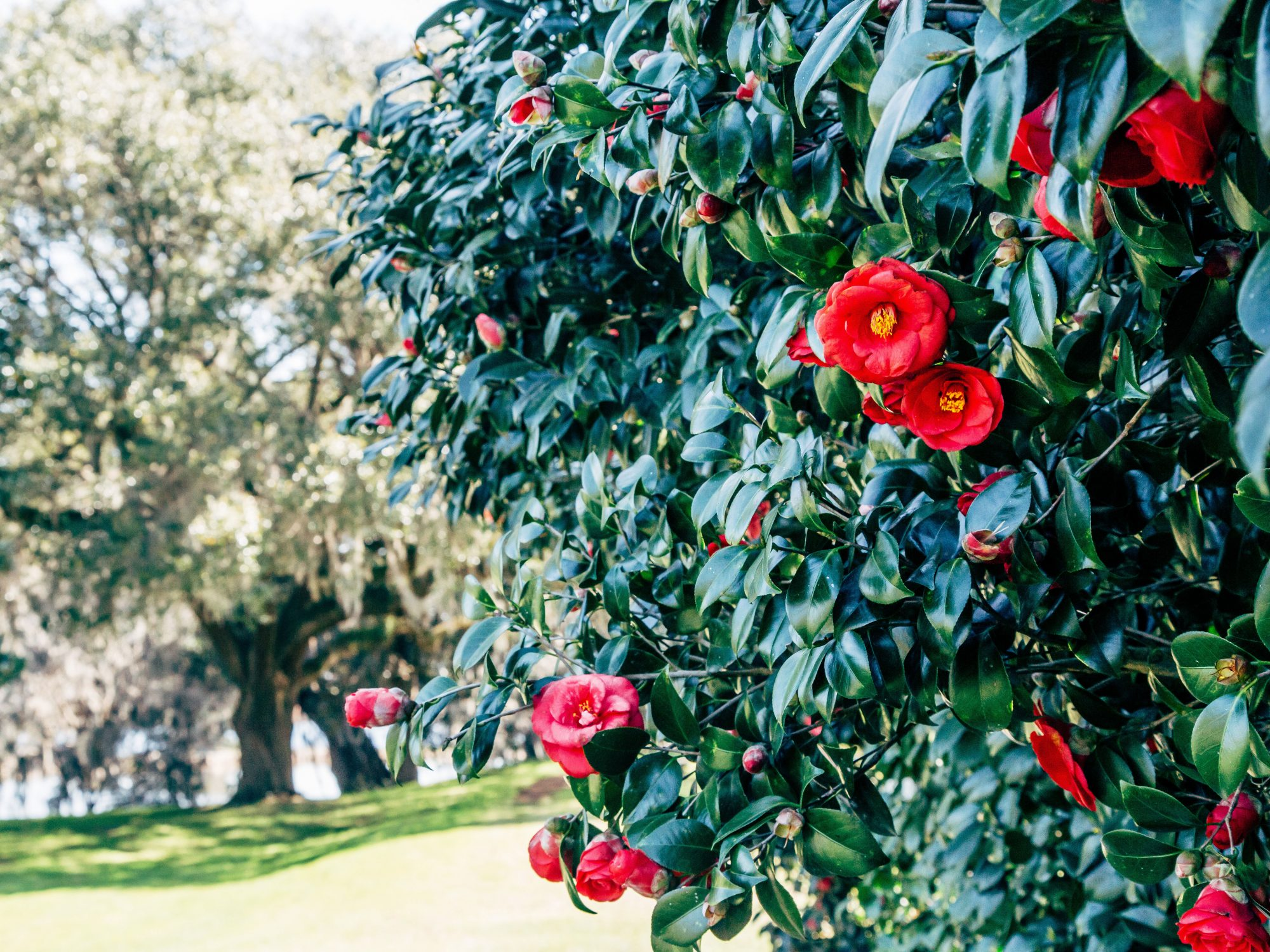 Camellia Blooms on Bush in Charleston, SC