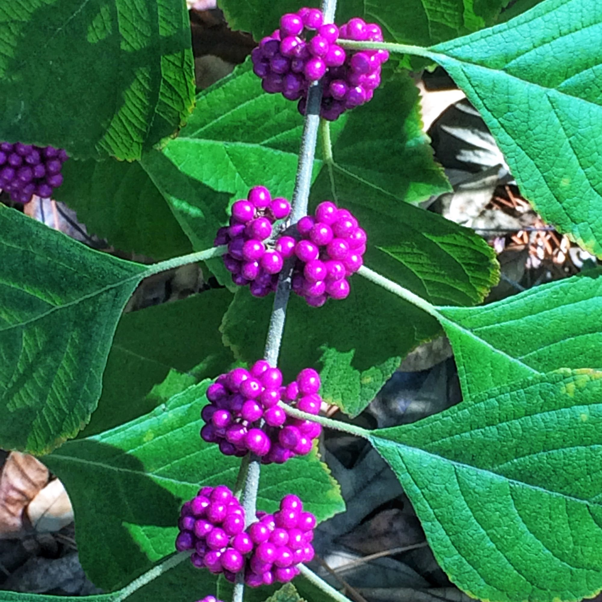 Grumpy's Beautyberry
