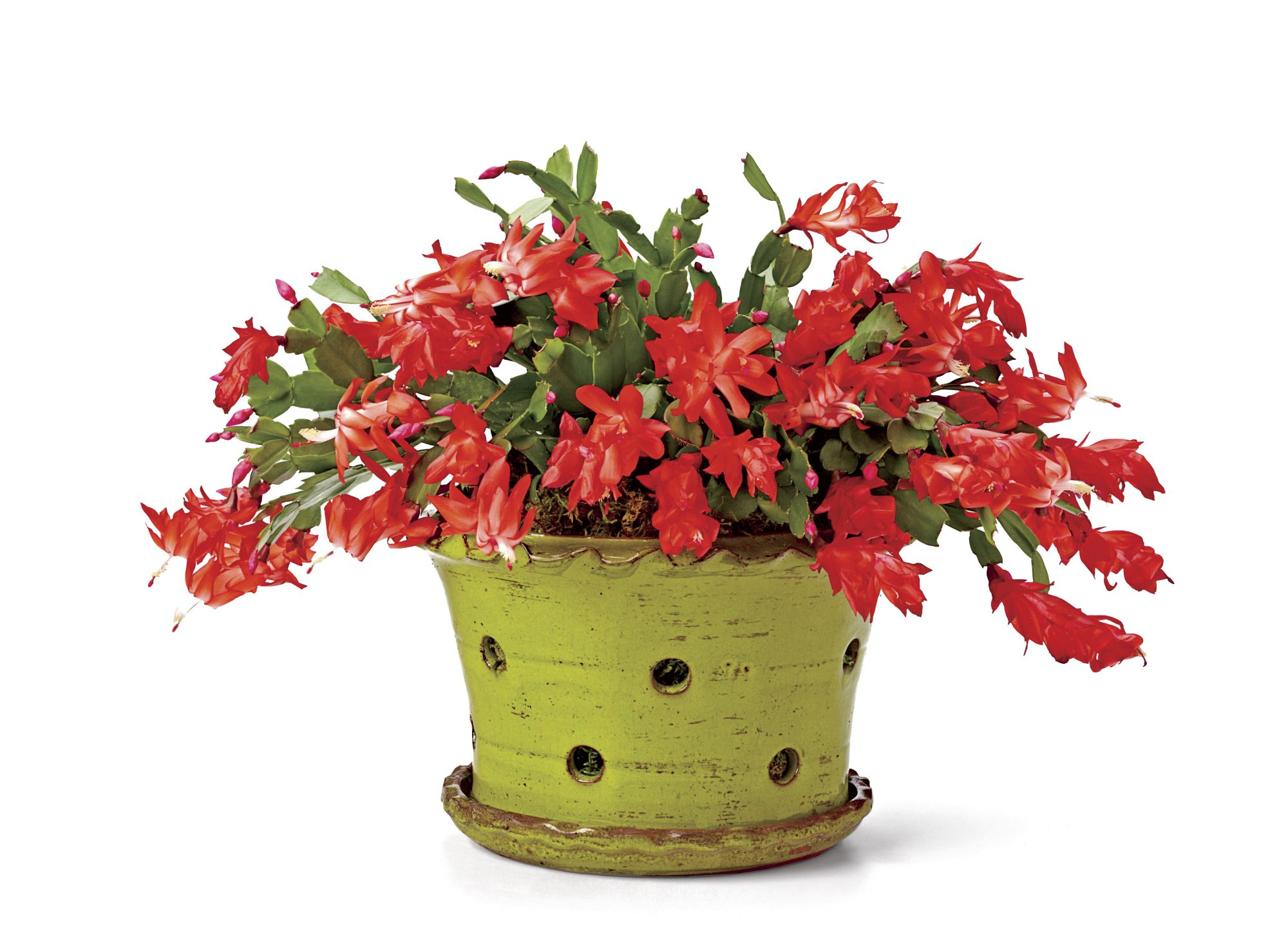 Christmas Cactus in Pot
