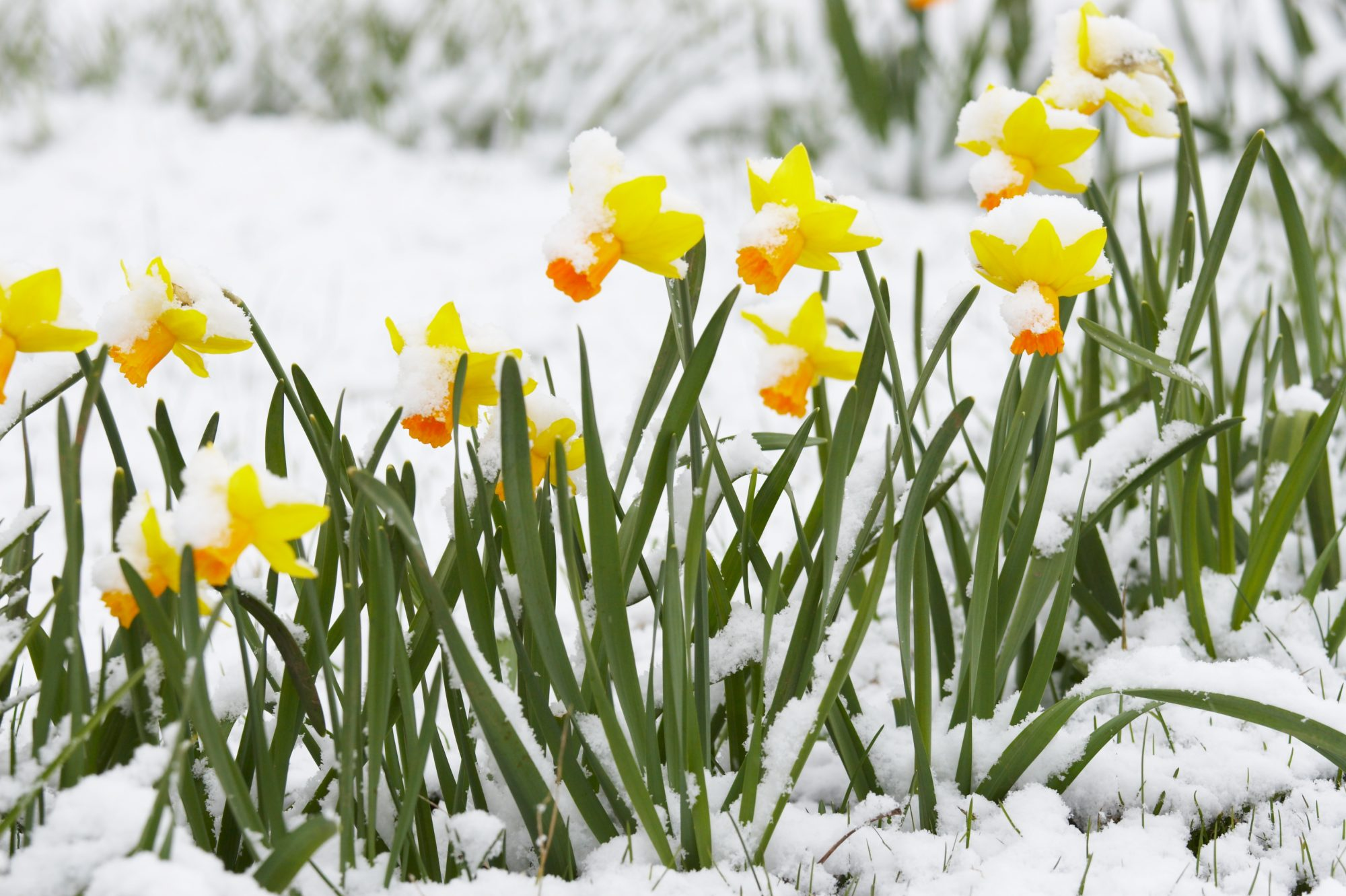 Will the Cold Kill Your Spring Bulbs?