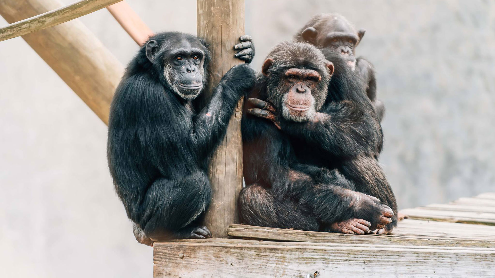 Louisiana Is Home to the World's Largest Chimpanzee Sanctuary