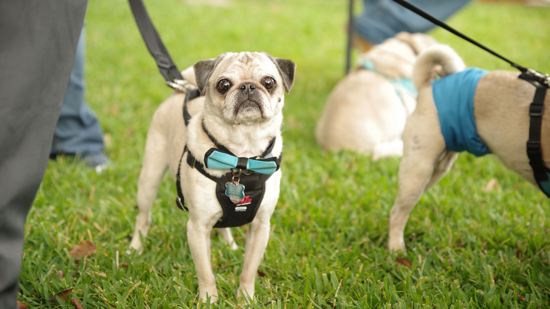 Wedding Pug Bow Tie
