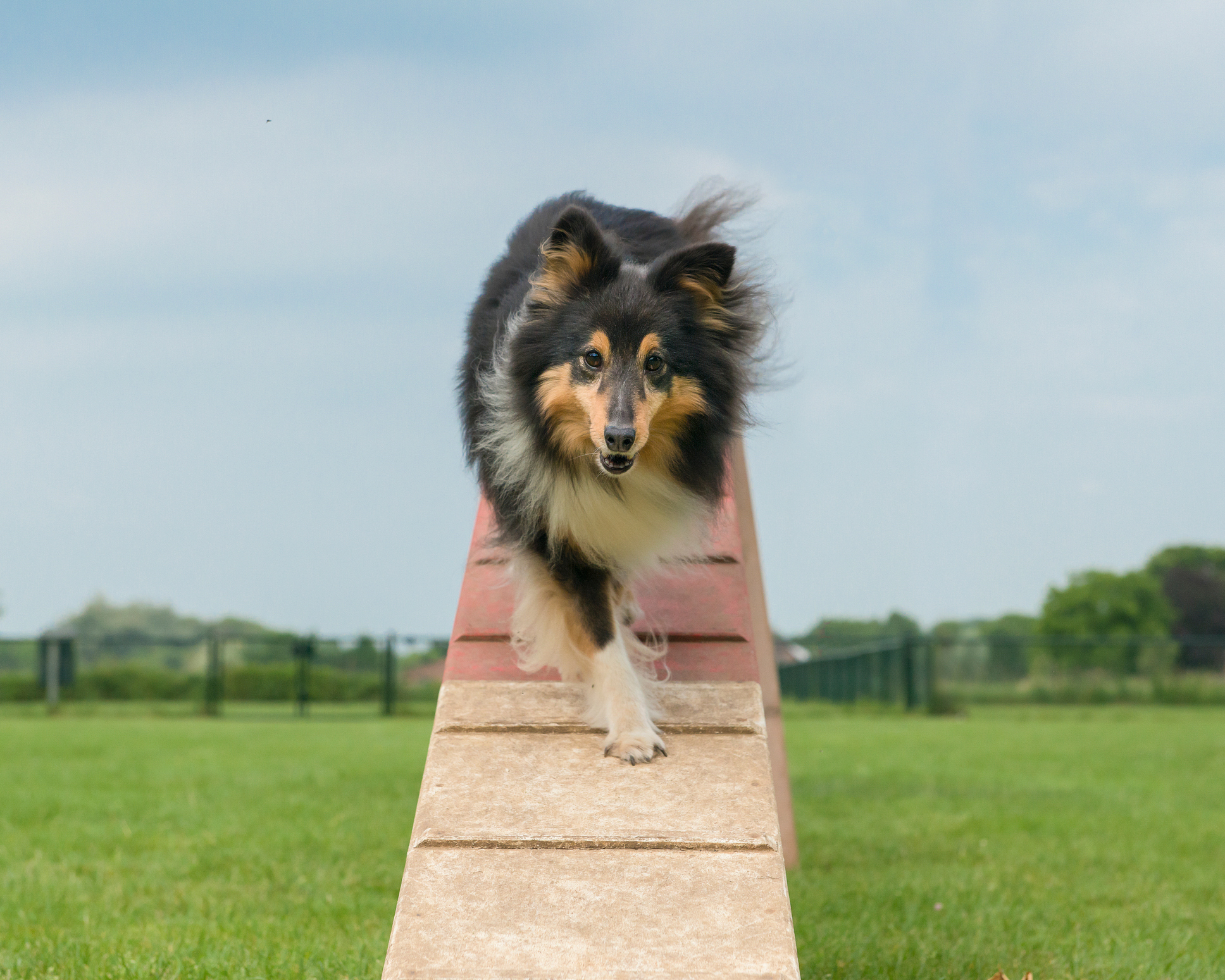 A breed of herding dog with a calm and responsive demeanor.