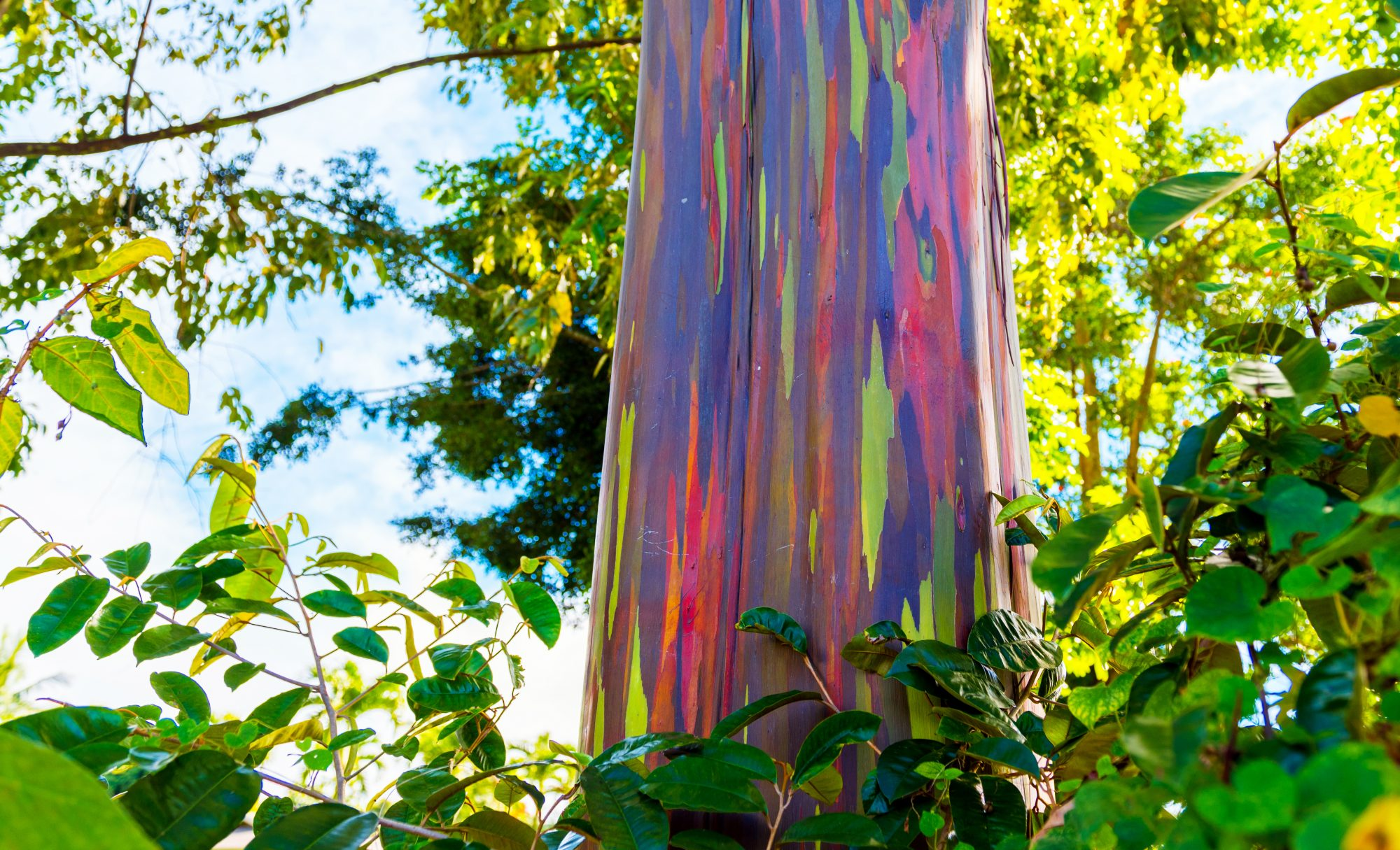 We Have to Talk About Rainbow Eucalyptus Trees