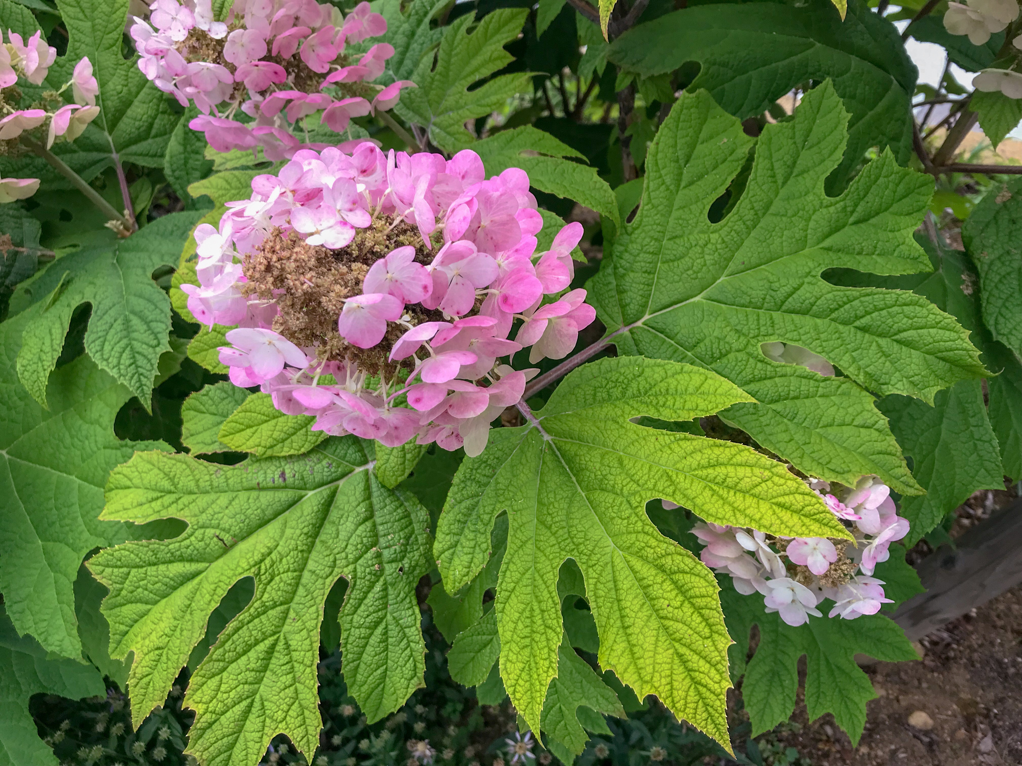 Plant 'Ruby Slippers' Hydrangea for Dramatic Colored Blooms