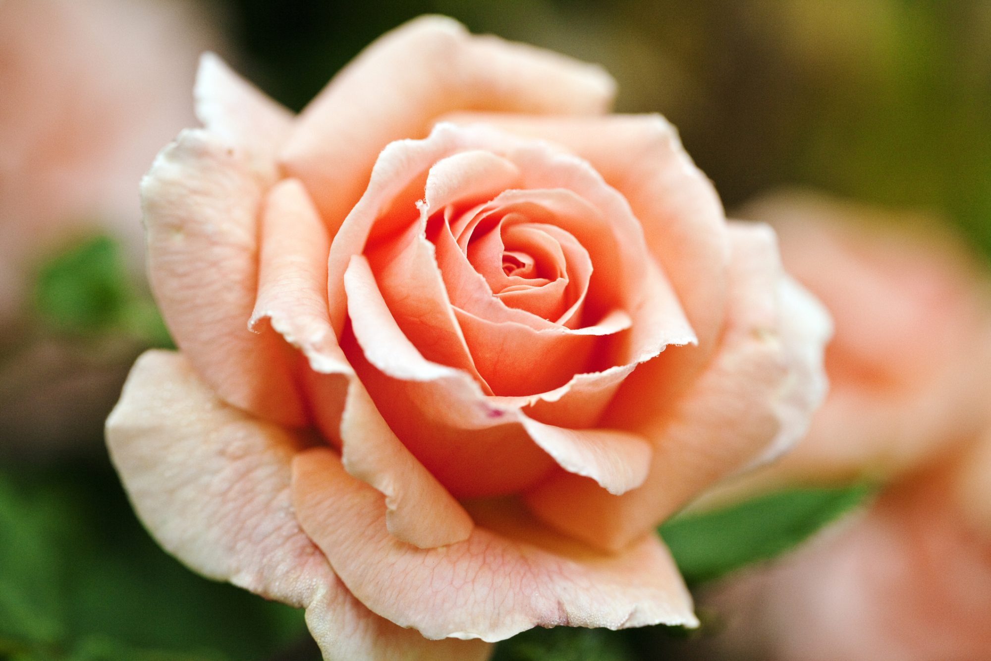Image result for peach color rose